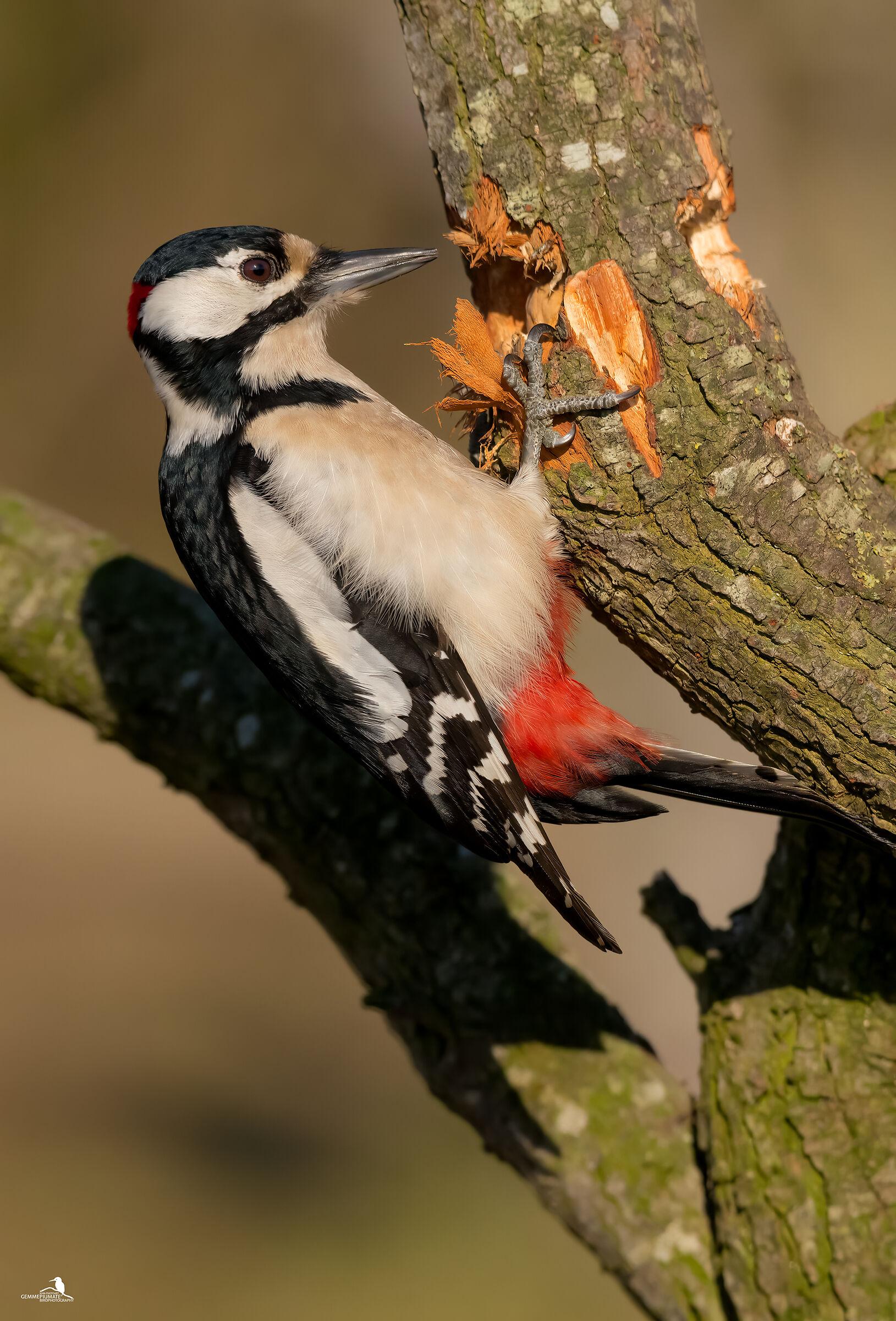 Major red woodpecker (male)...