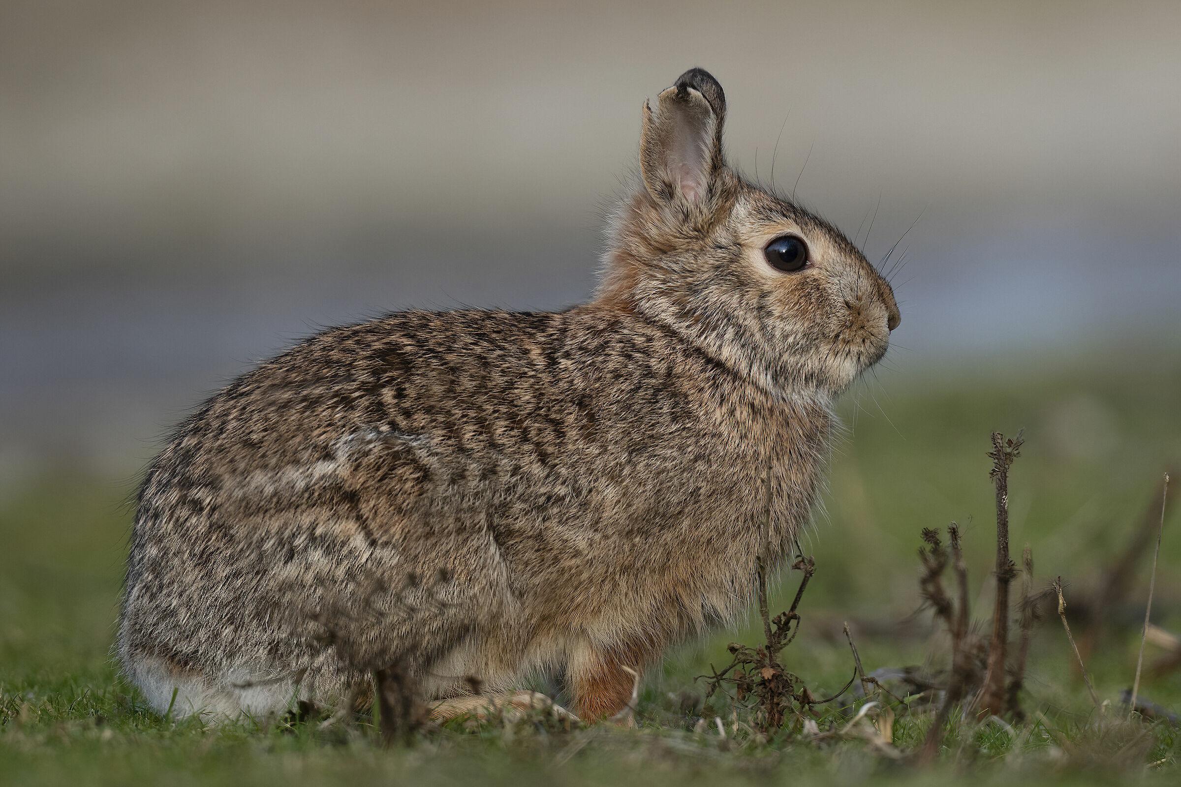 mini hare...
