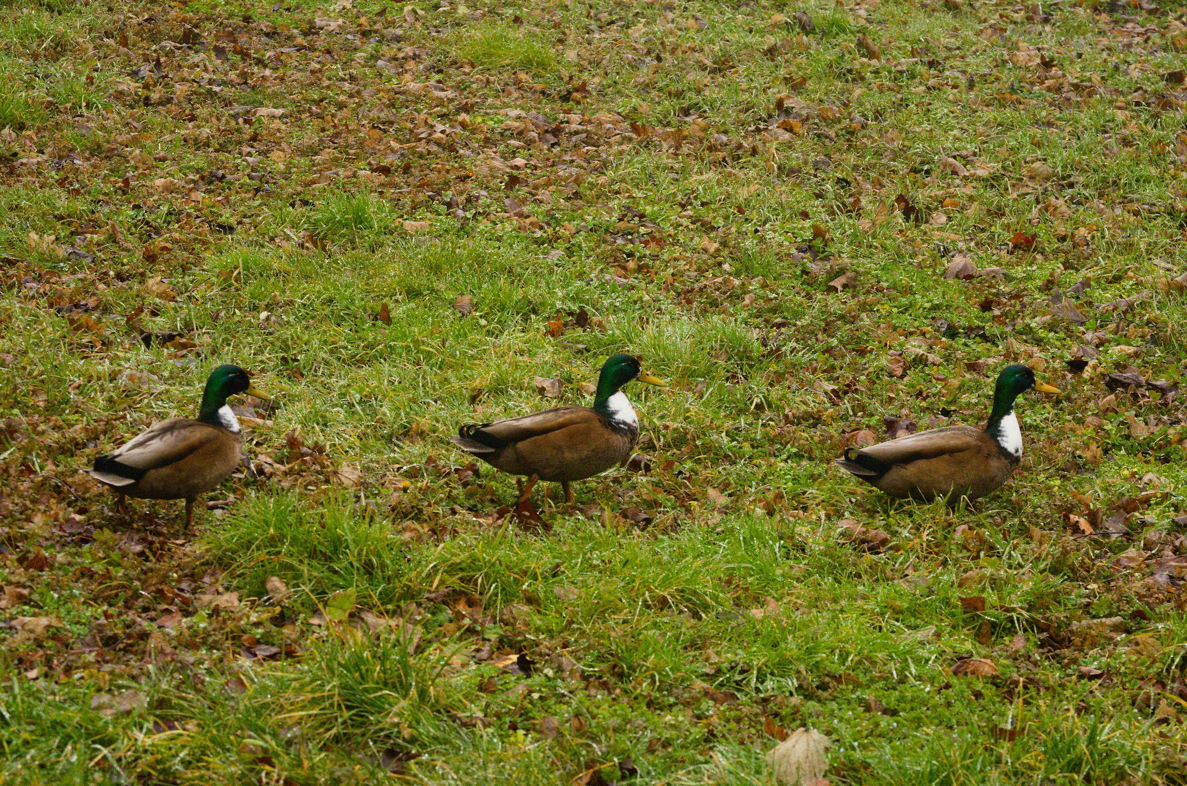 3 ducks...