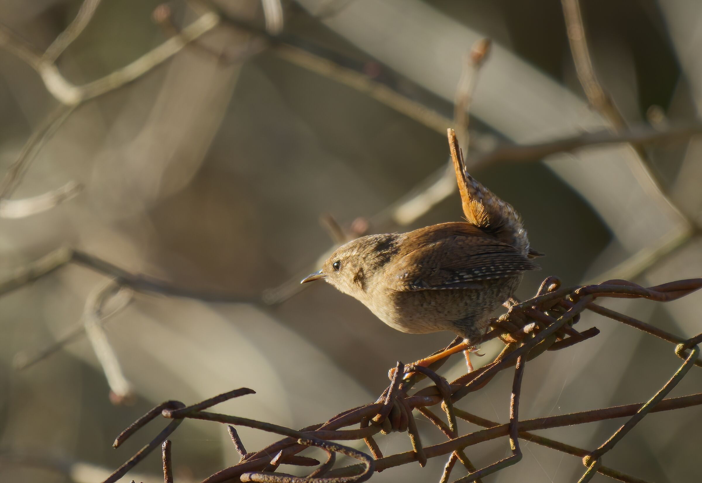 The wren in the reticulated...