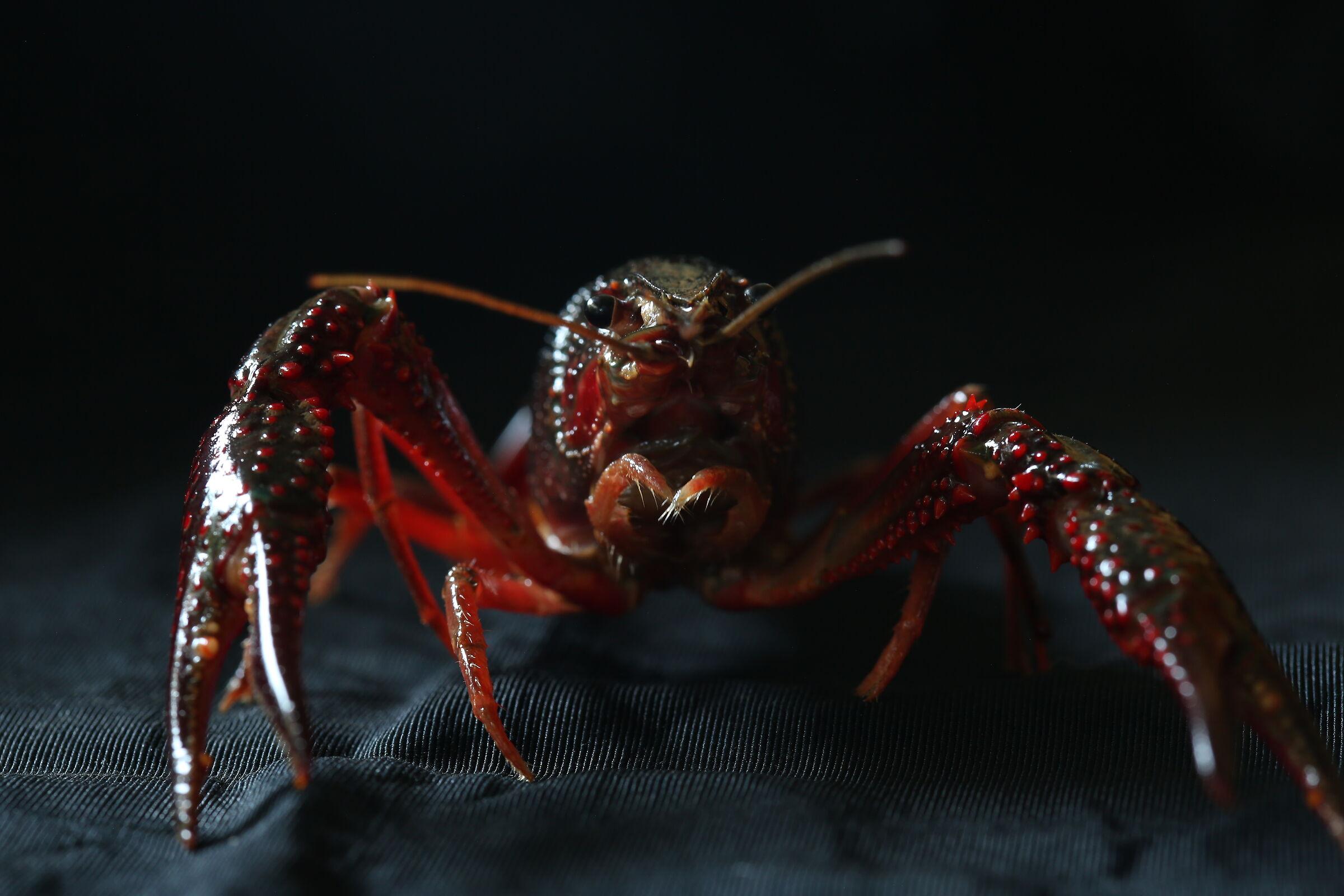 Louisiana Red Shrimp 2...