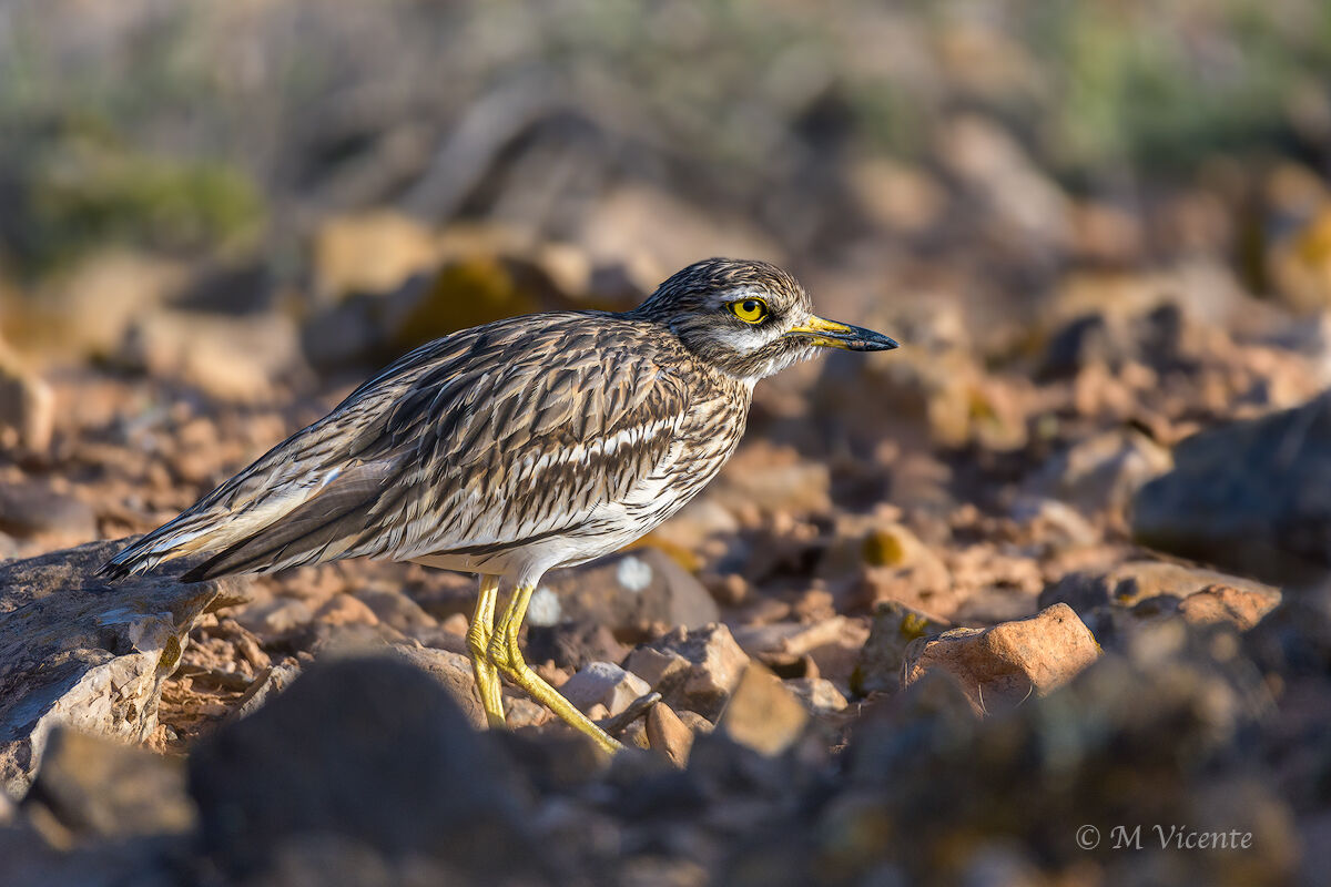 Stone curlew...