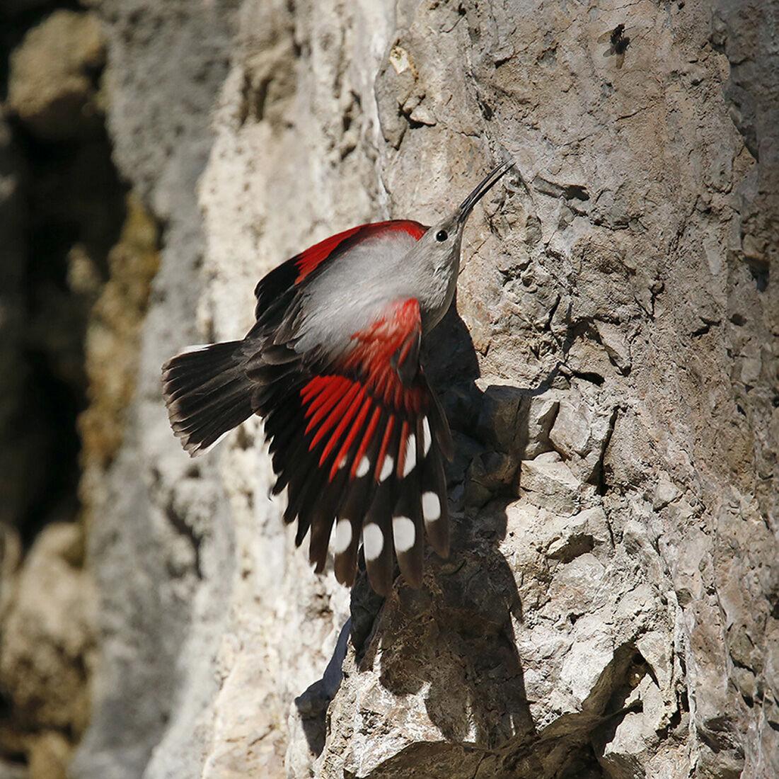 woodpecker wall (Tichodroma wall)...