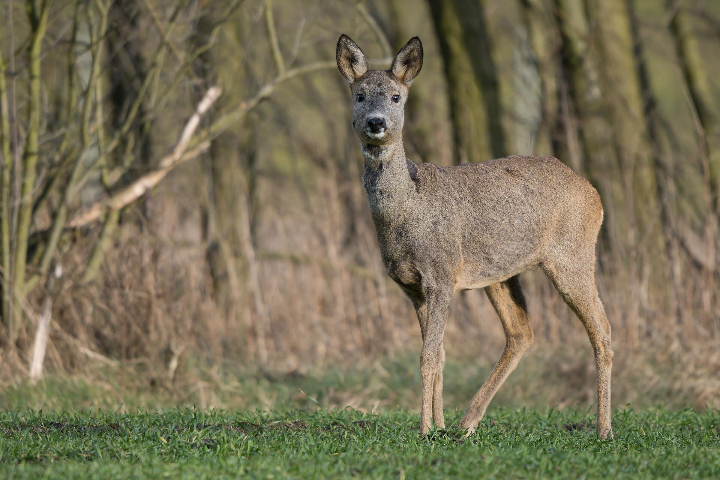Roe deer (Capreolus capreolus)...