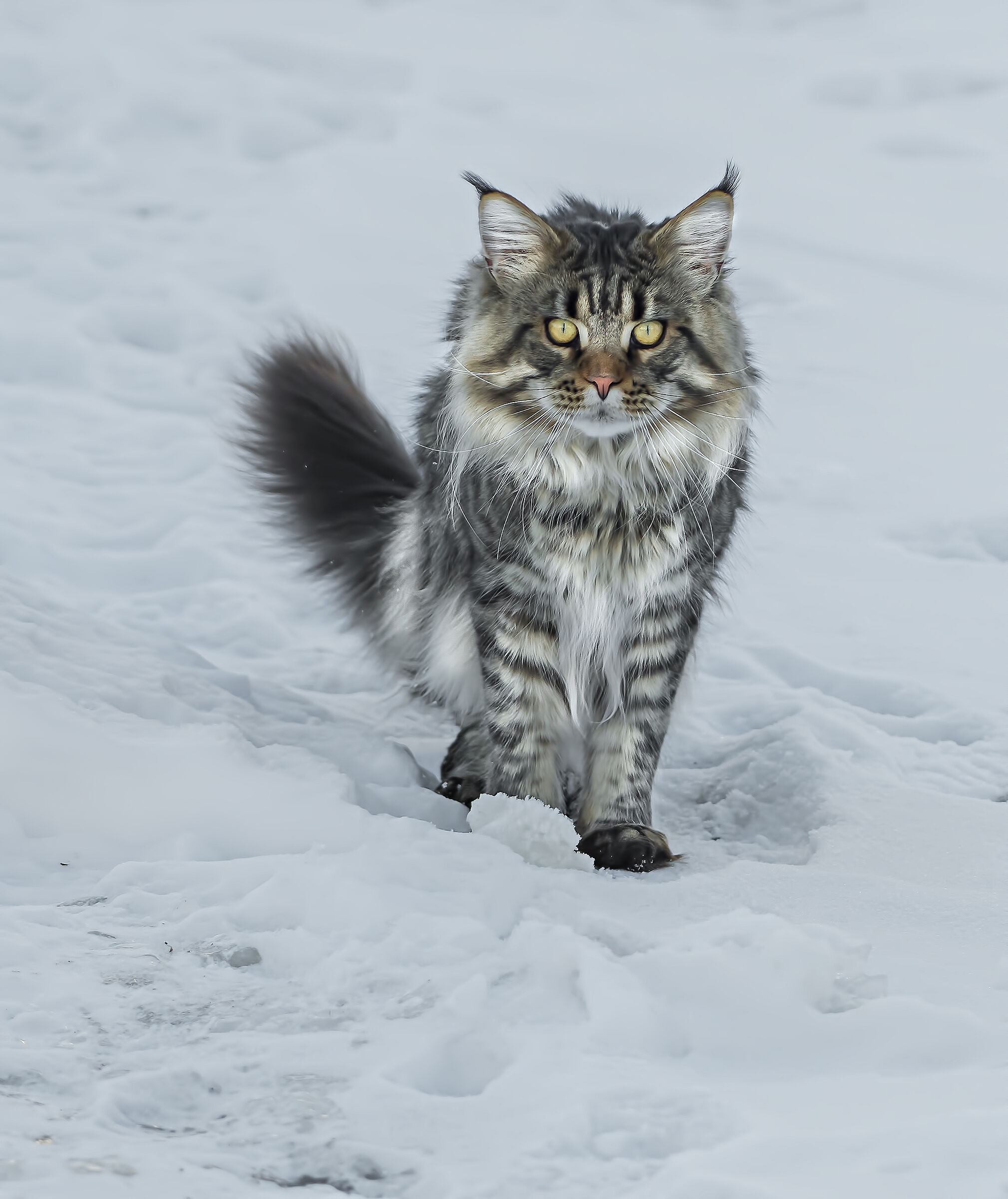 Maine Coon...