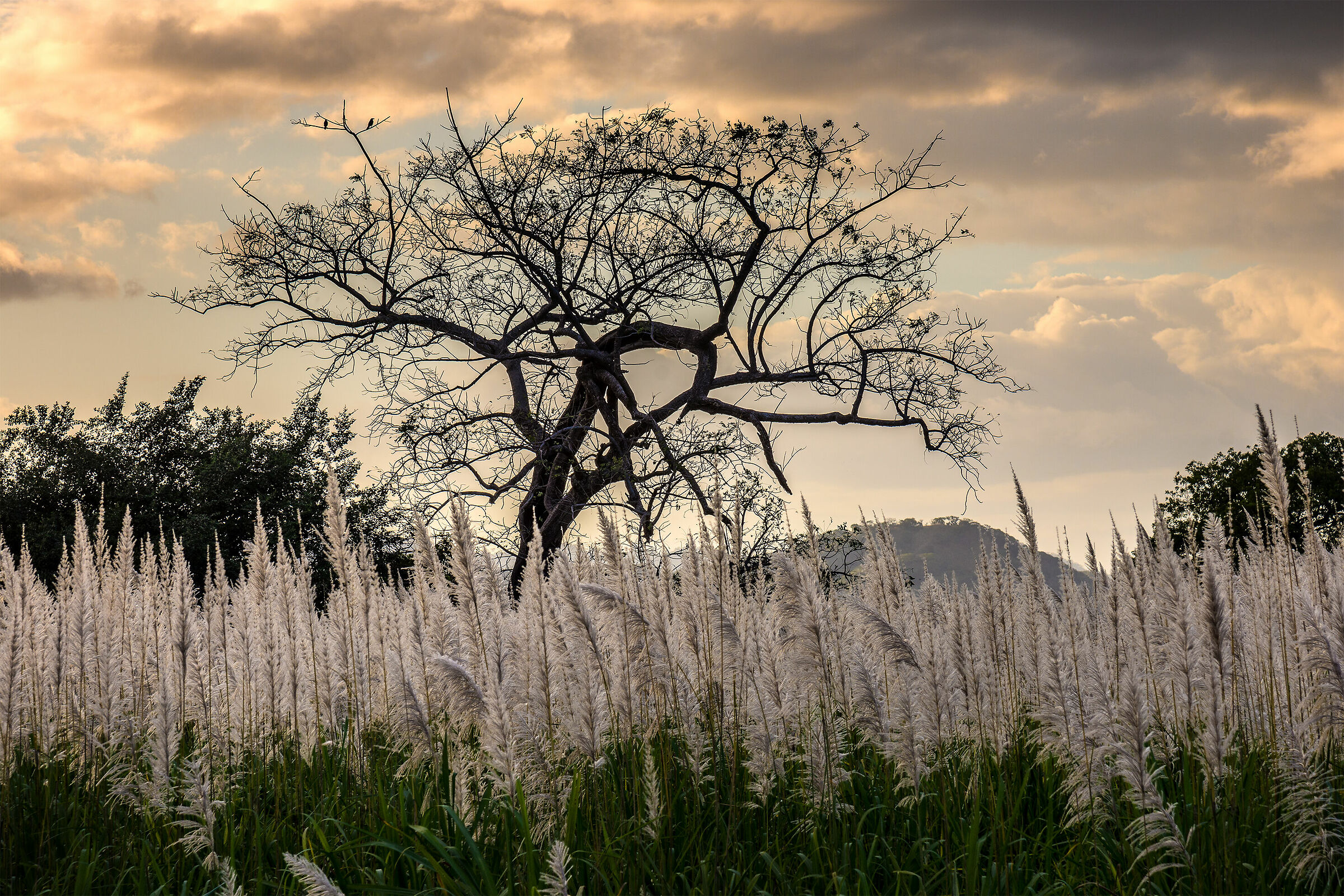 Sugarcane flowers at sunset...