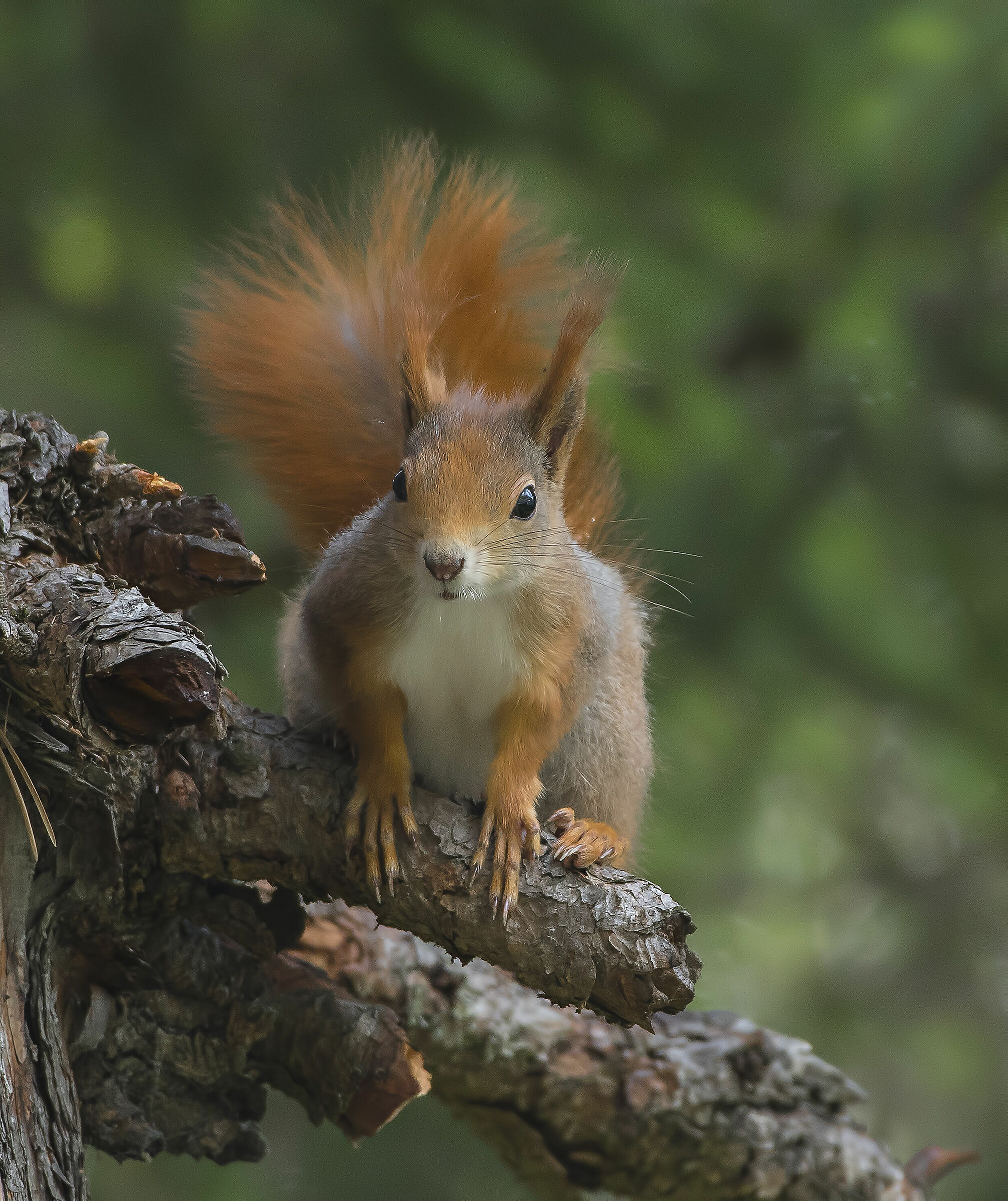 red squirrel ...