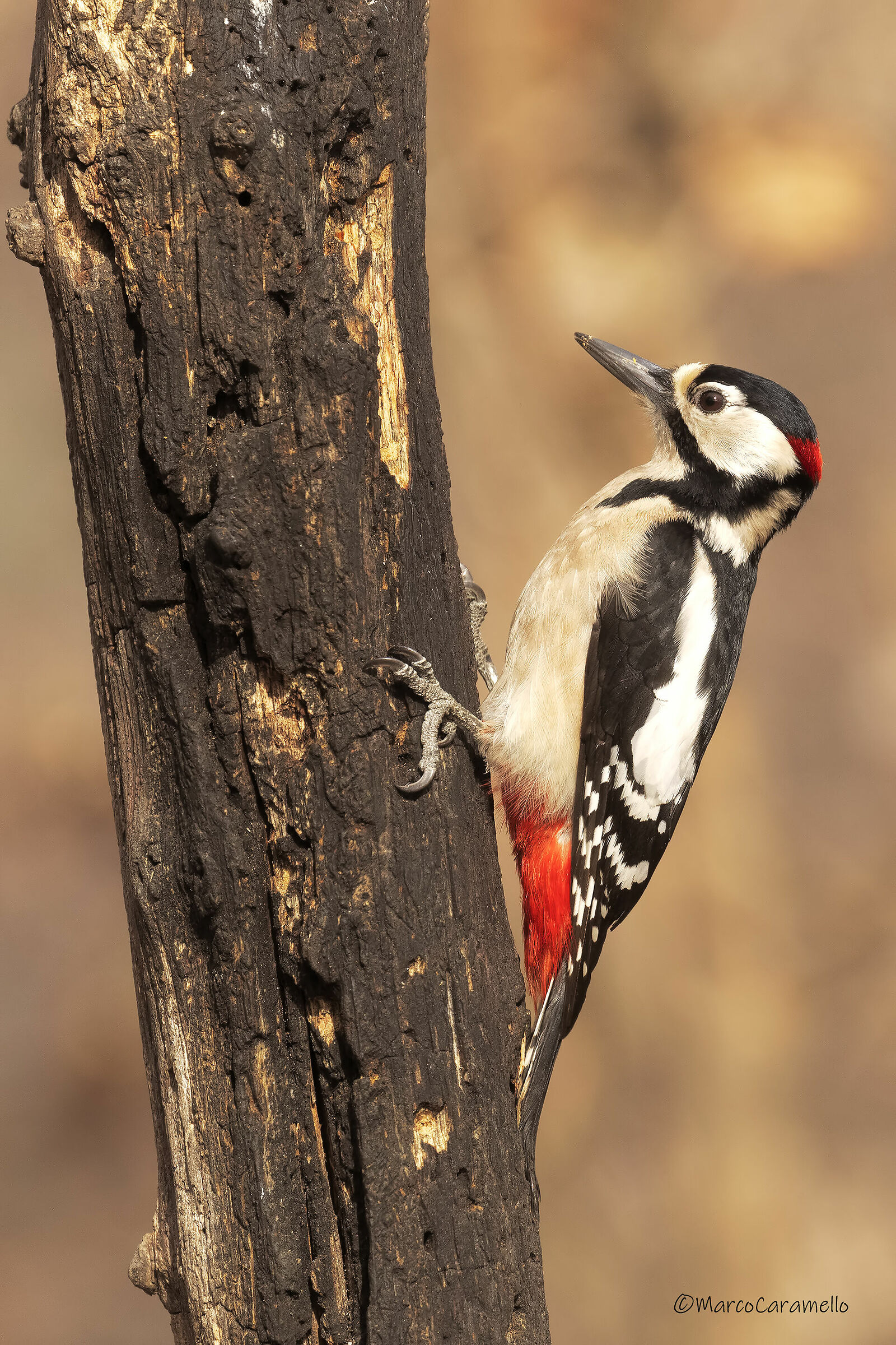Major red woodpecker...