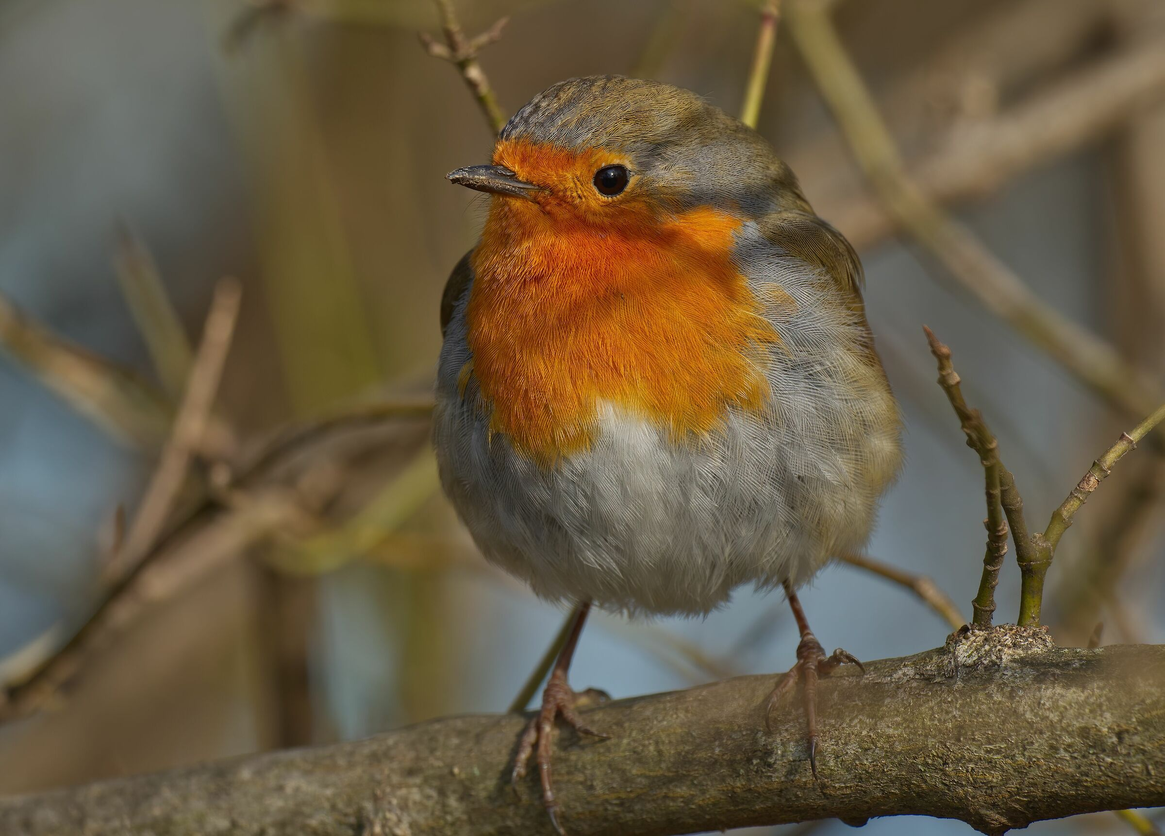 The feathers of the robin...