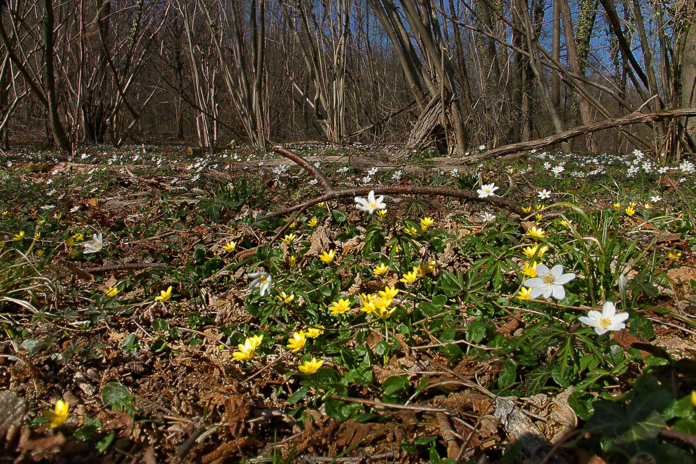 Anemones of the Woods and Favagelli ...