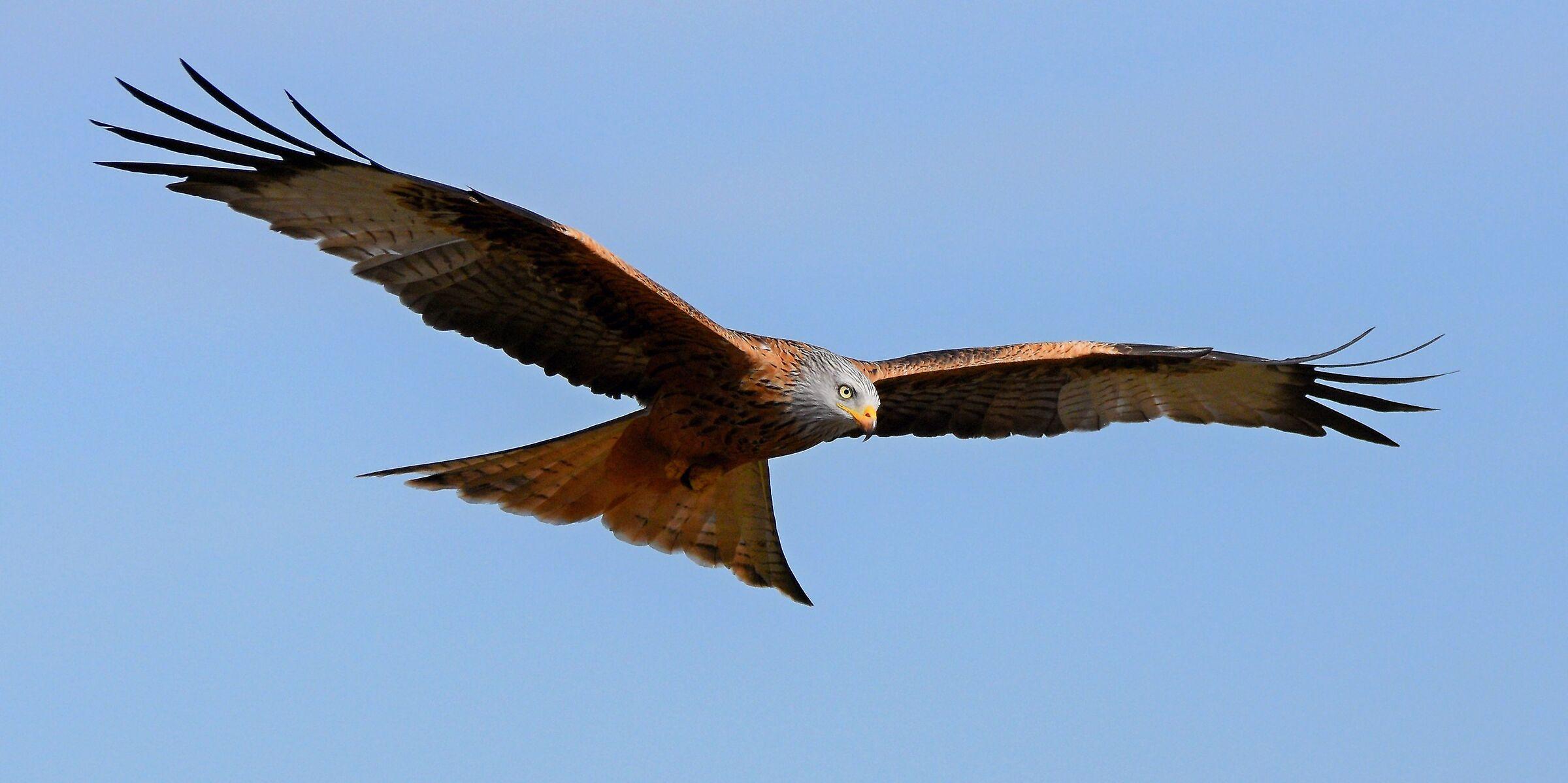Royal kite...