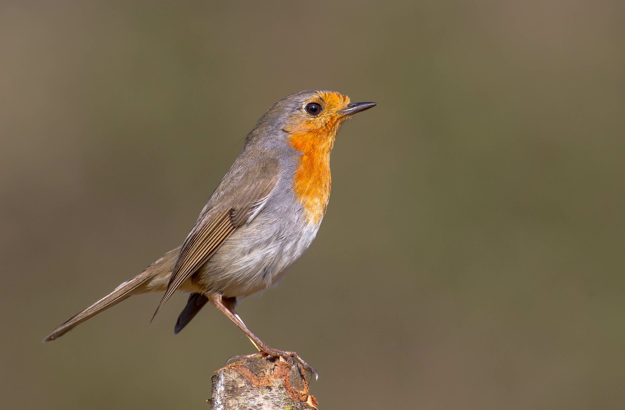 Other robin...