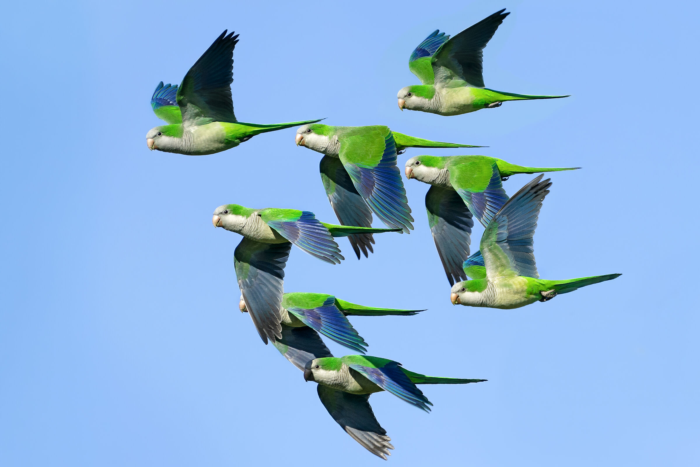 Parrots monks in the skies of Rome...