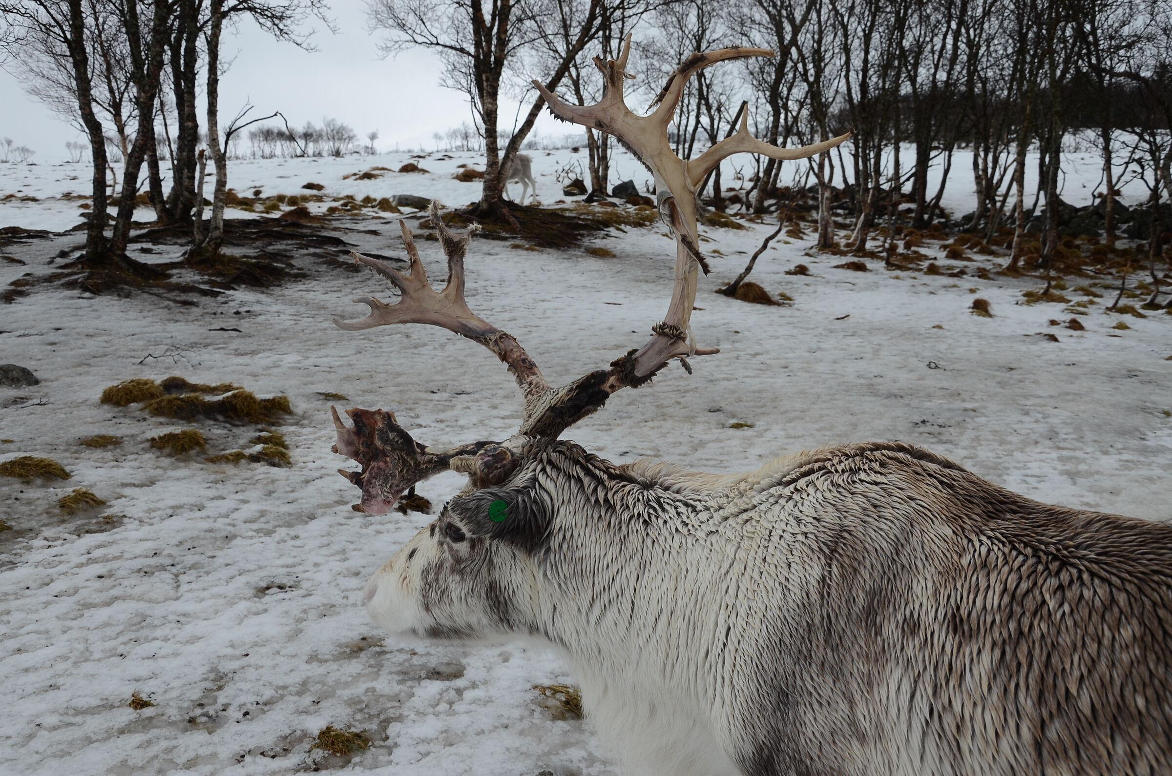 Reindeer, D.E....