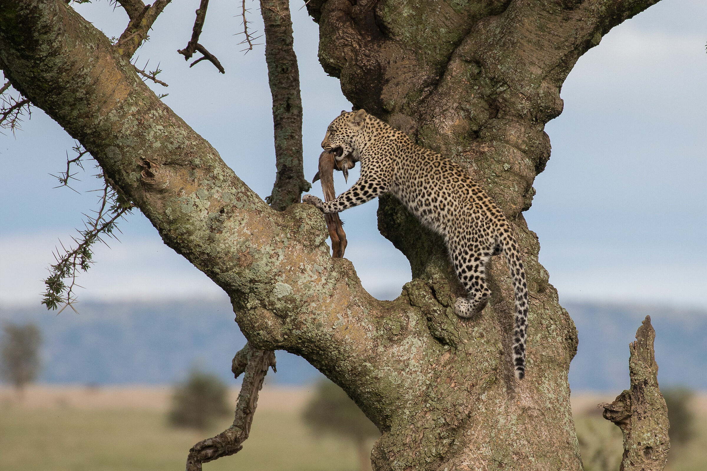 Take-away leopard style...