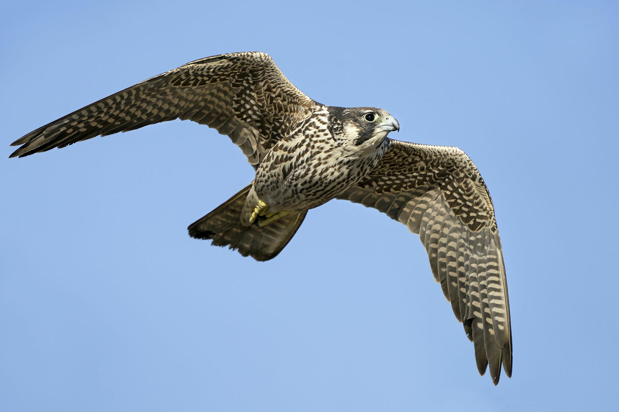 Falco pellegrino Calidus...
