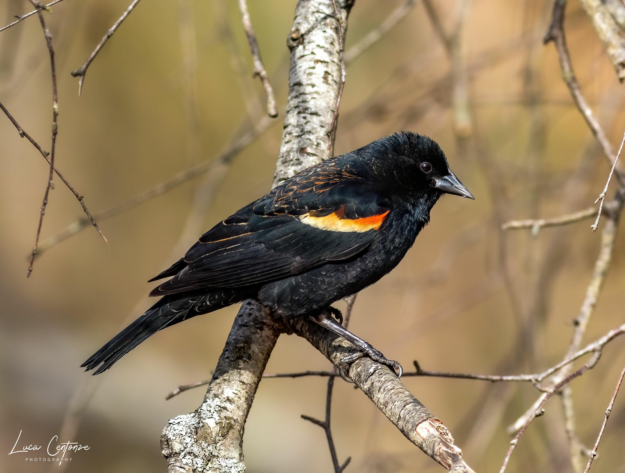 Red Widget Blackbird...