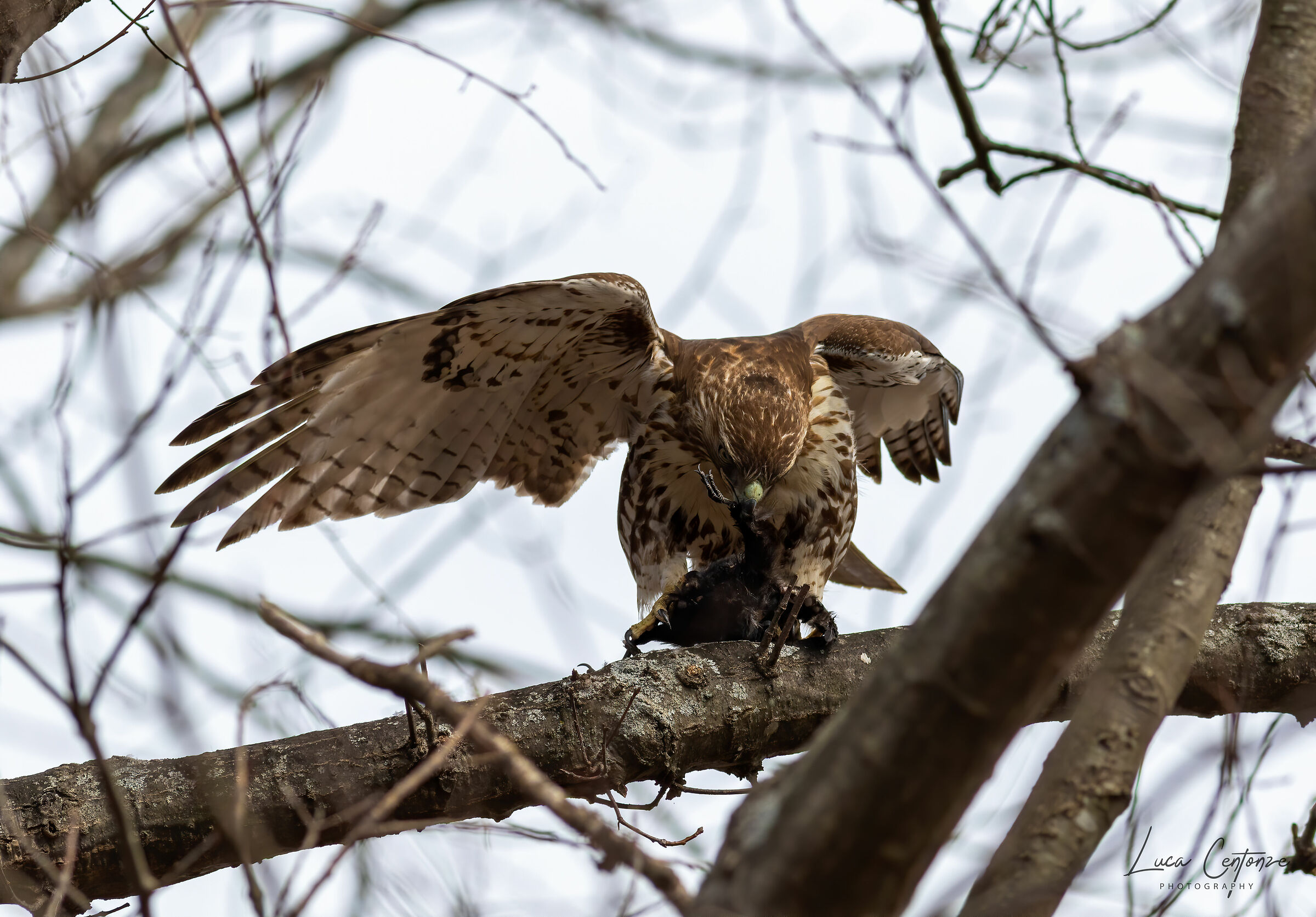 Red-tailed Poiana with prey...