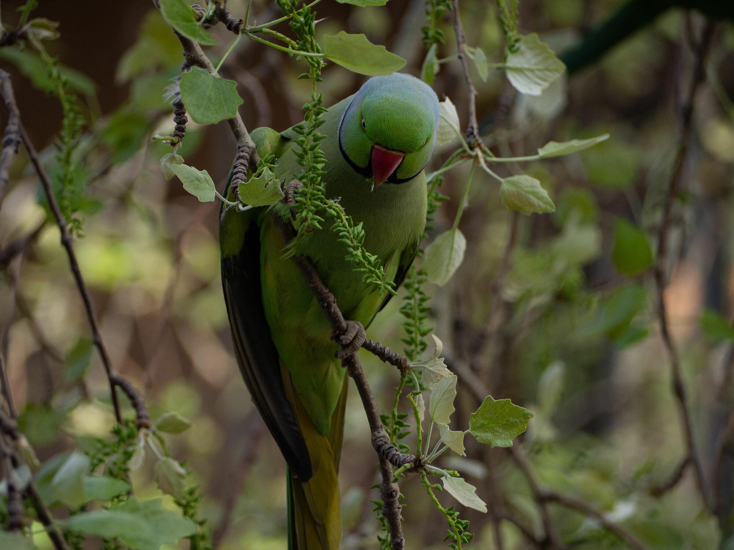 University parrot...