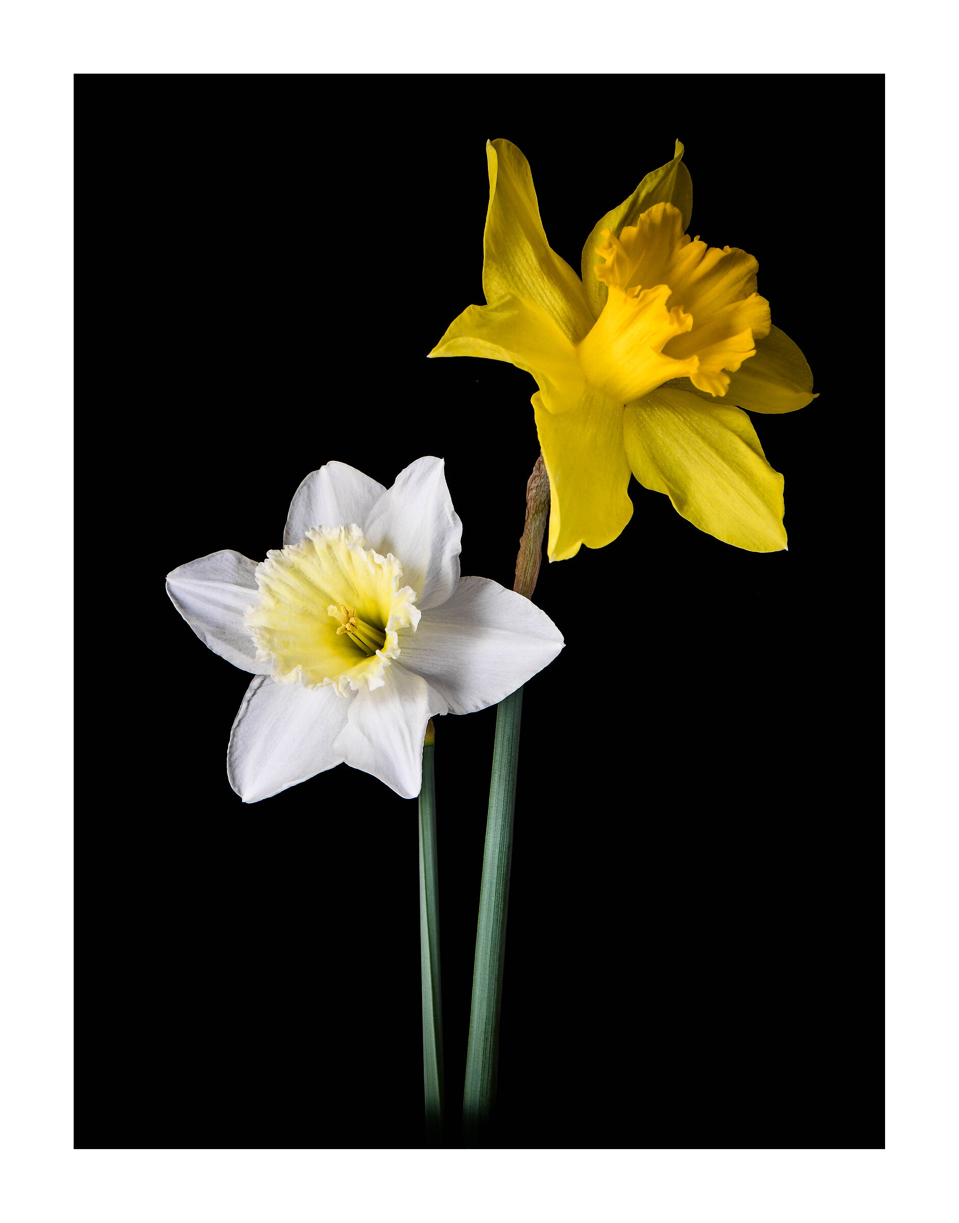 Coppia di Narcisi....
