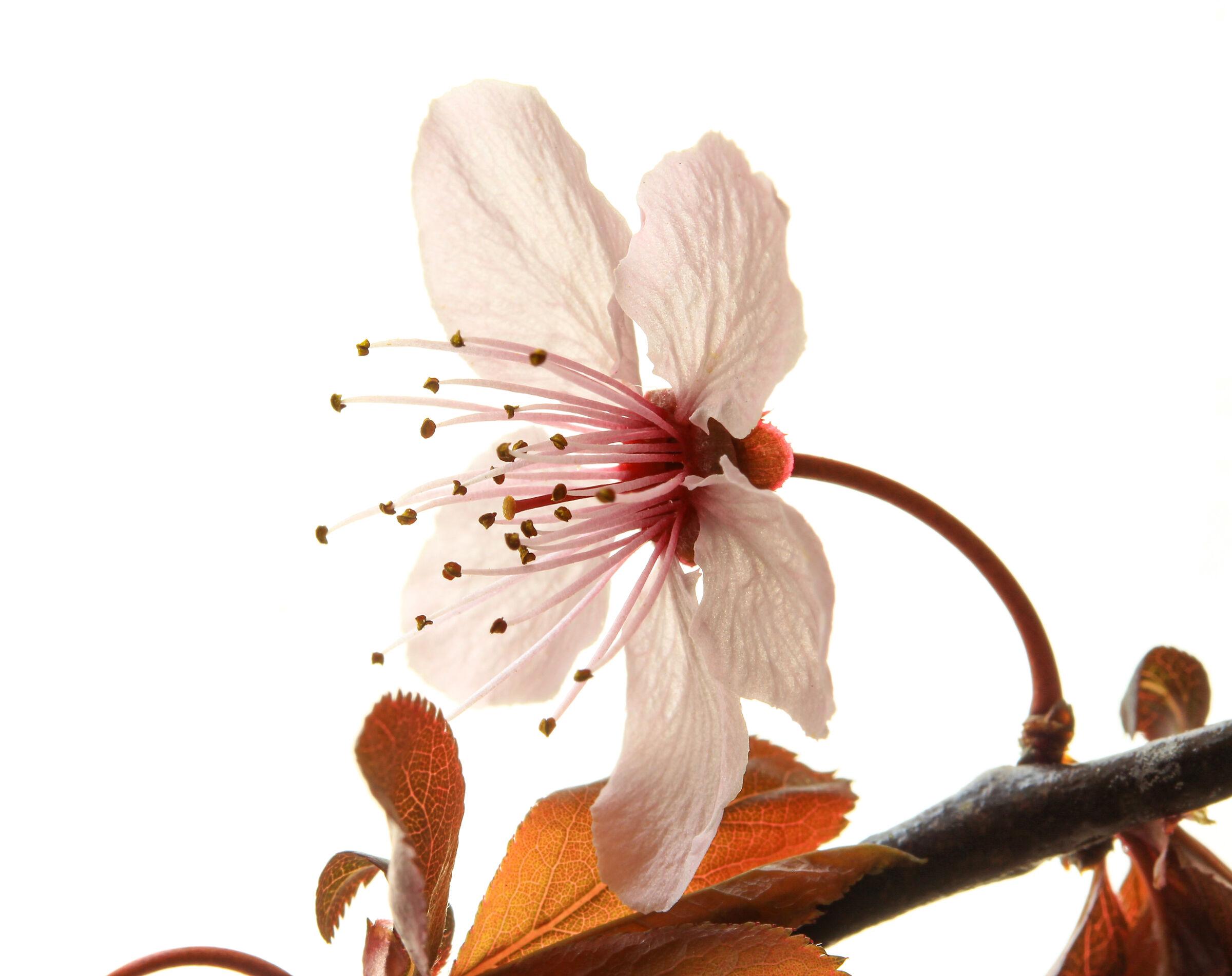 Prunus...