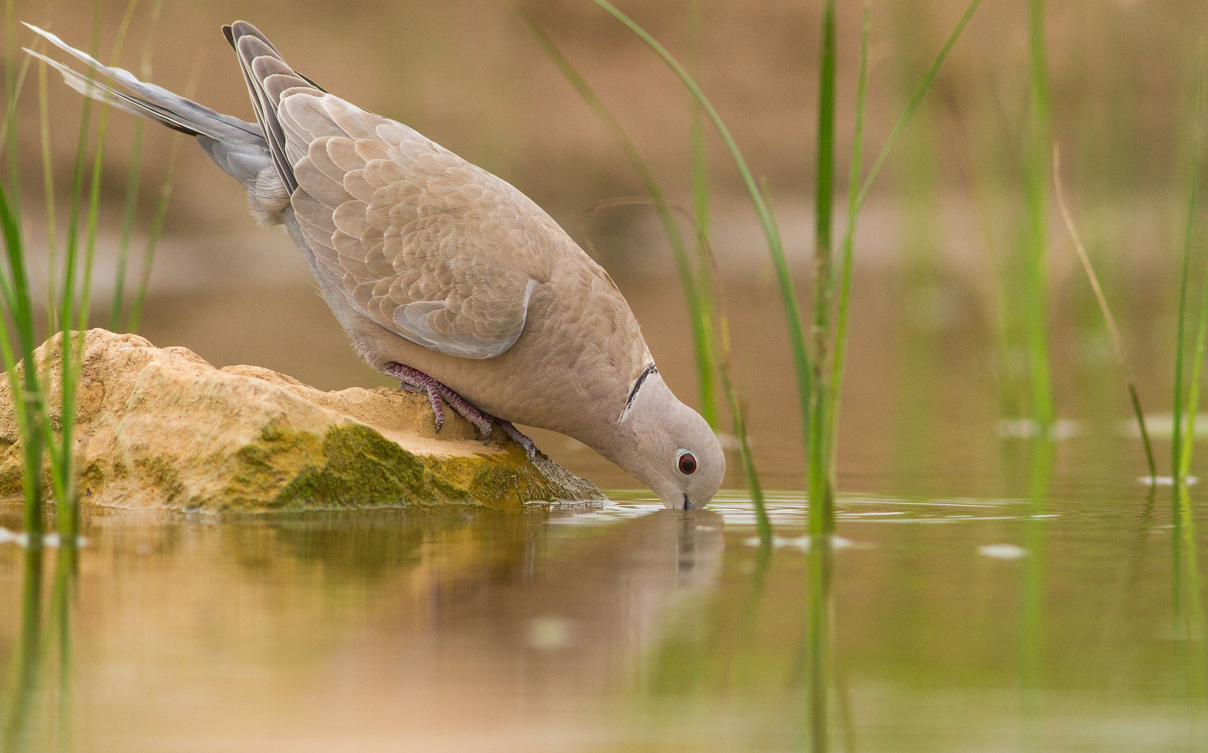 among the forest of grass ( ring dove )...