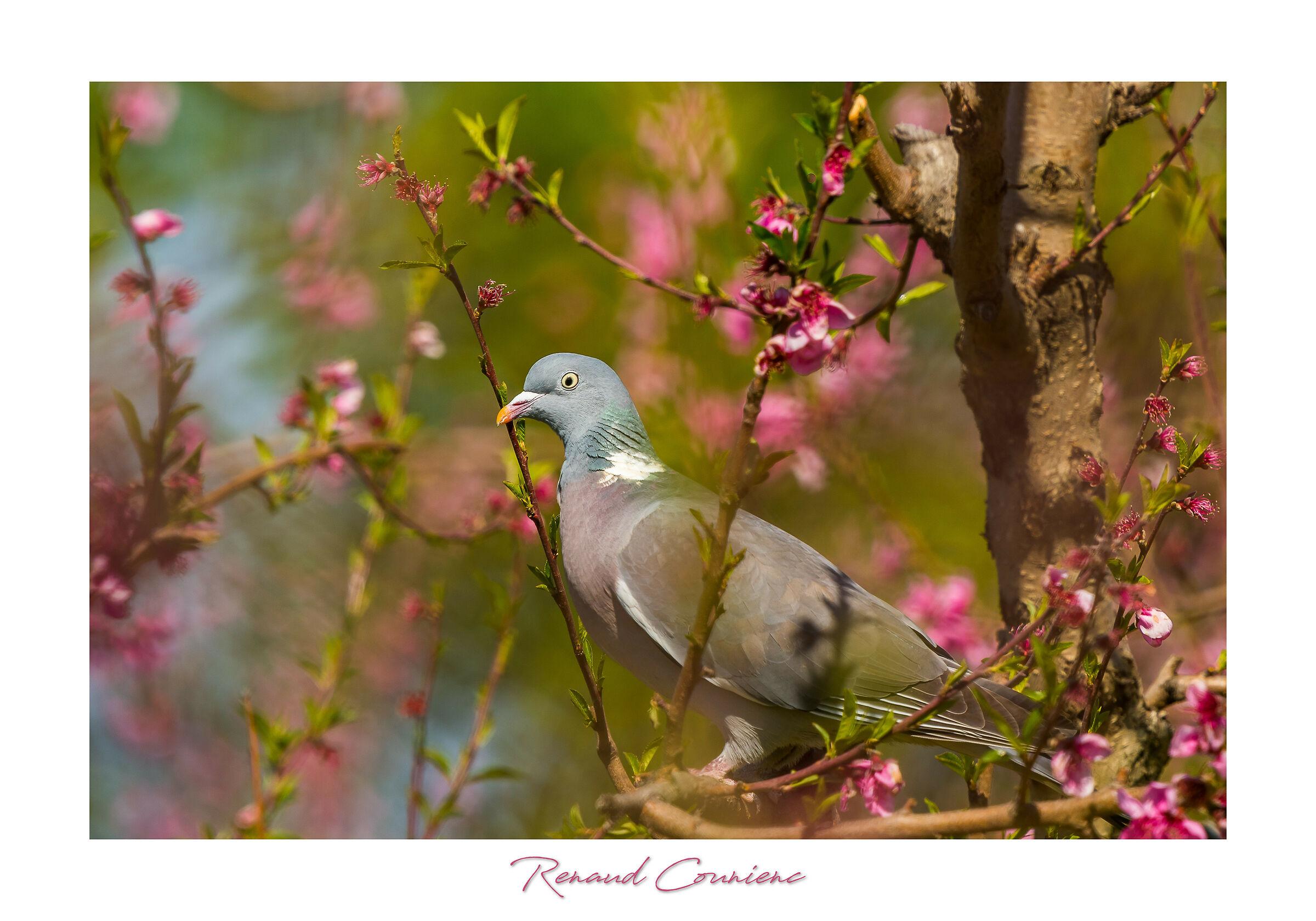 Columba palumbus in flowering peach trees...