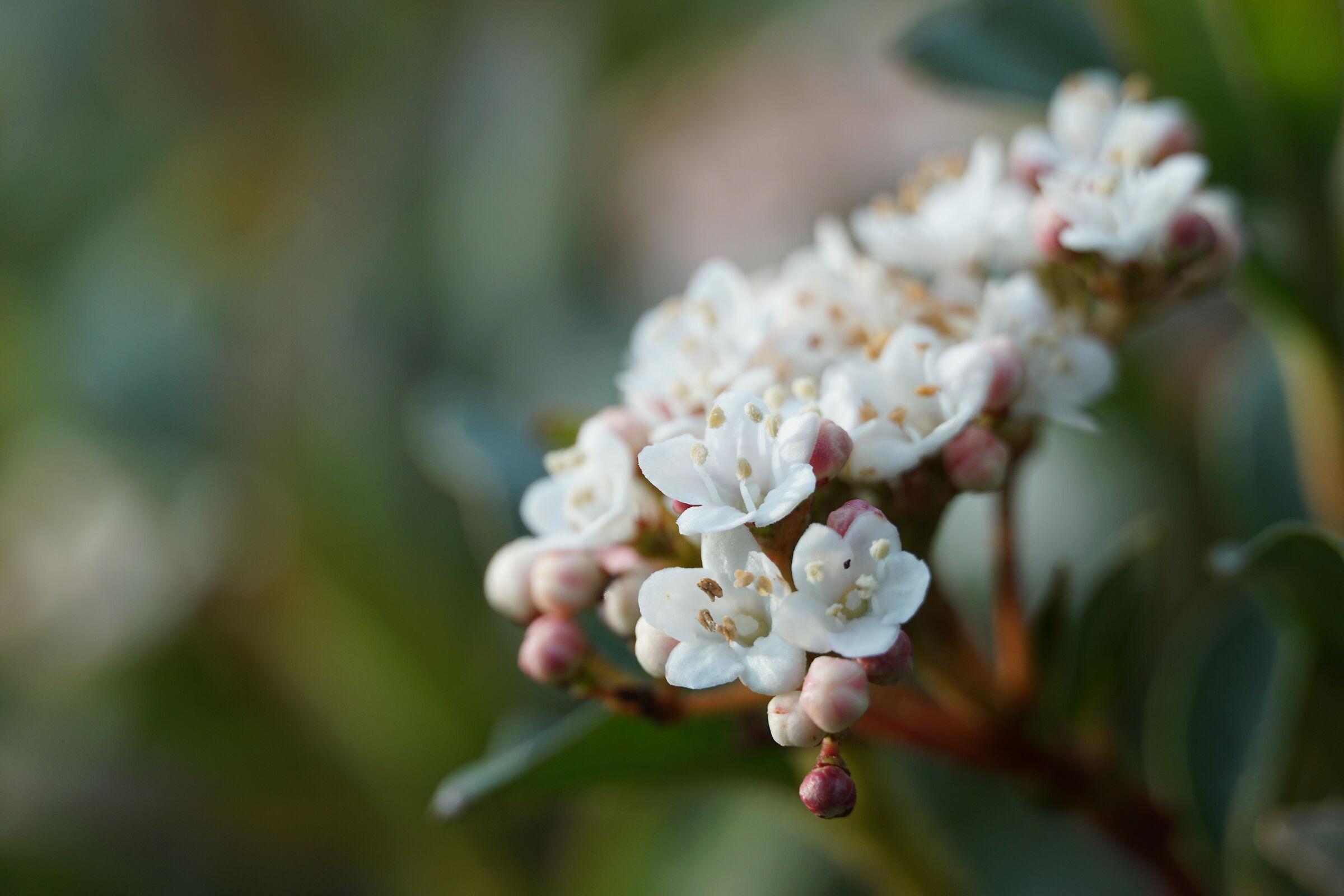 The white viburnum...