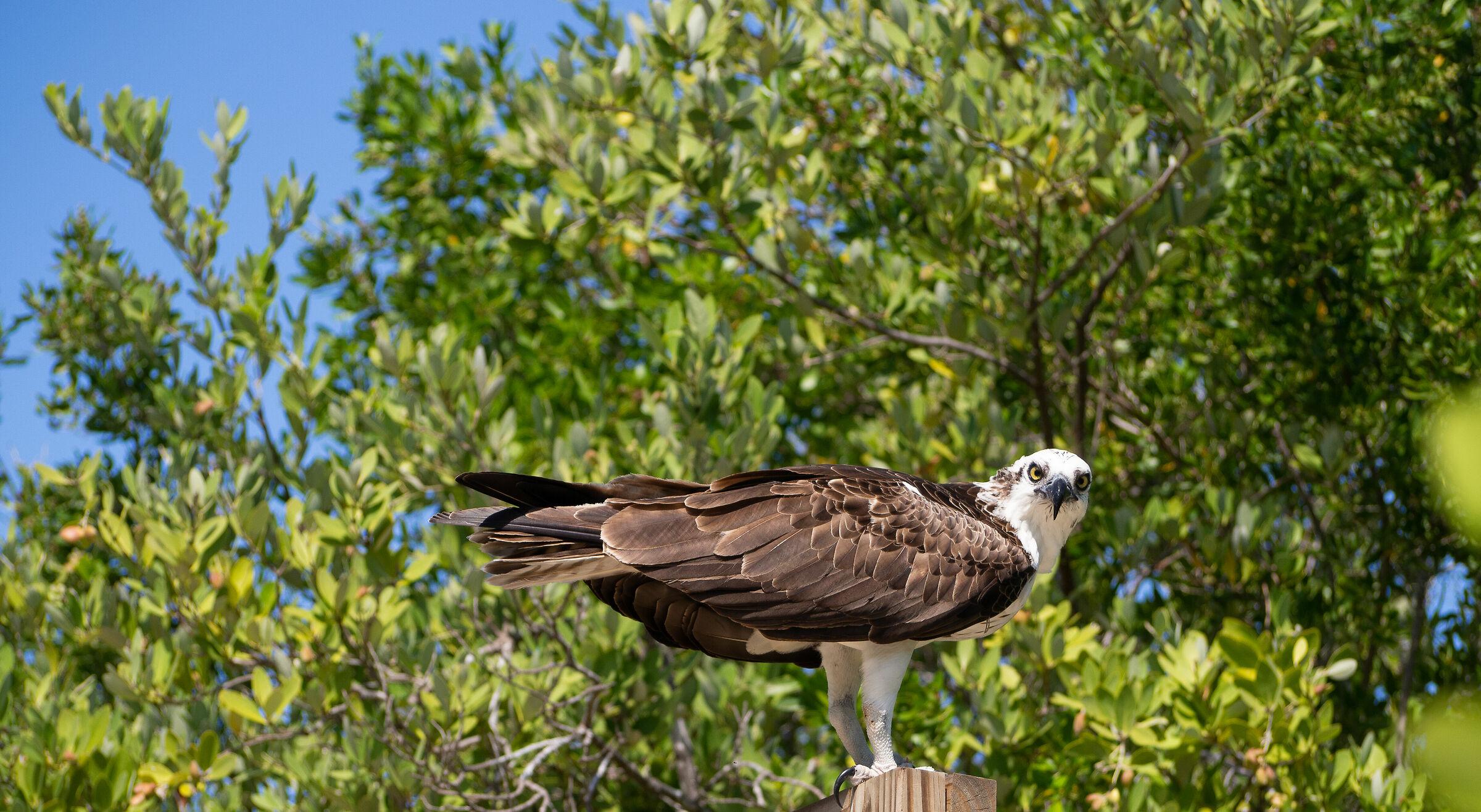 Fisherman's Eagle...