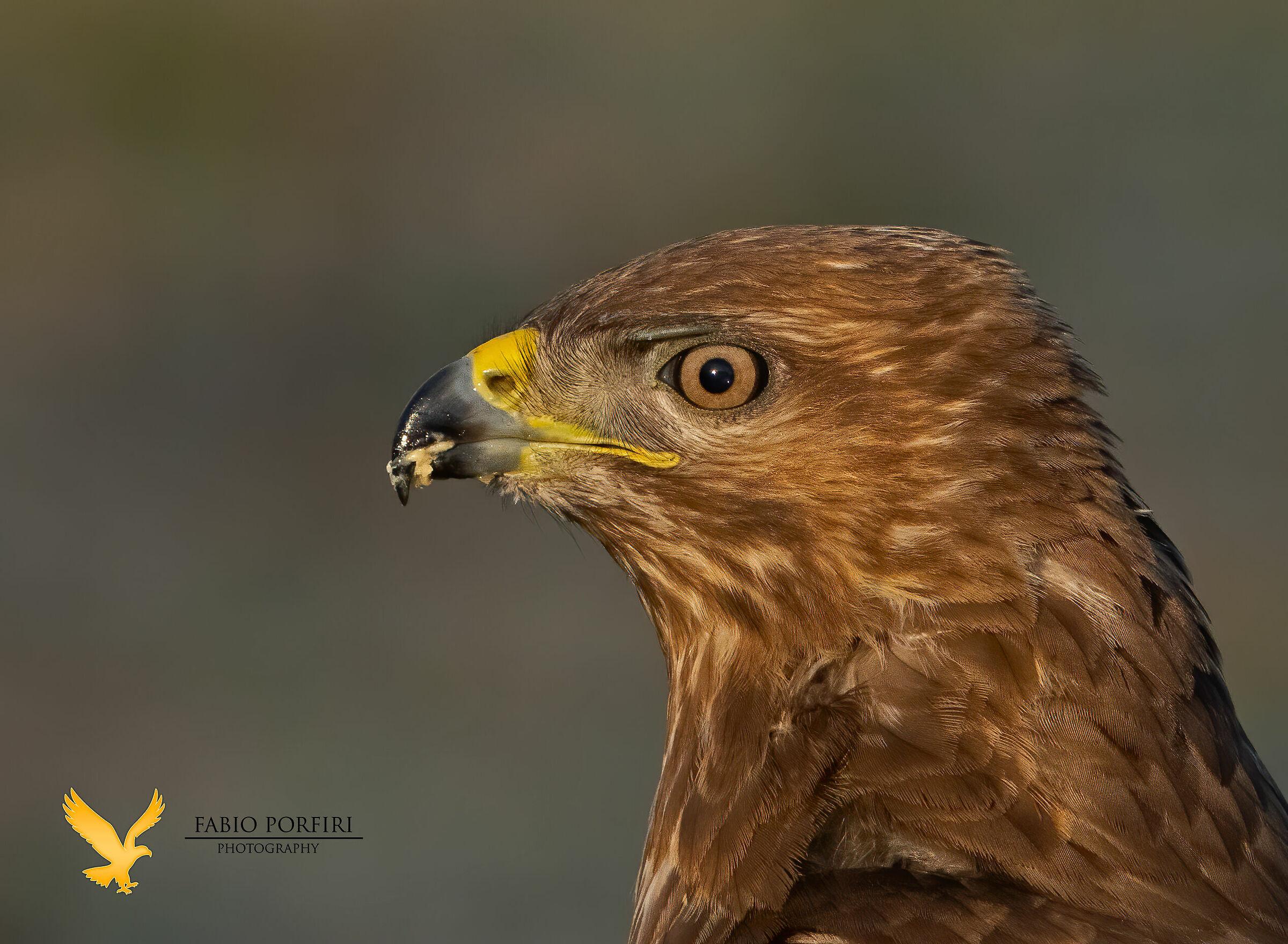 portrait buzzard...