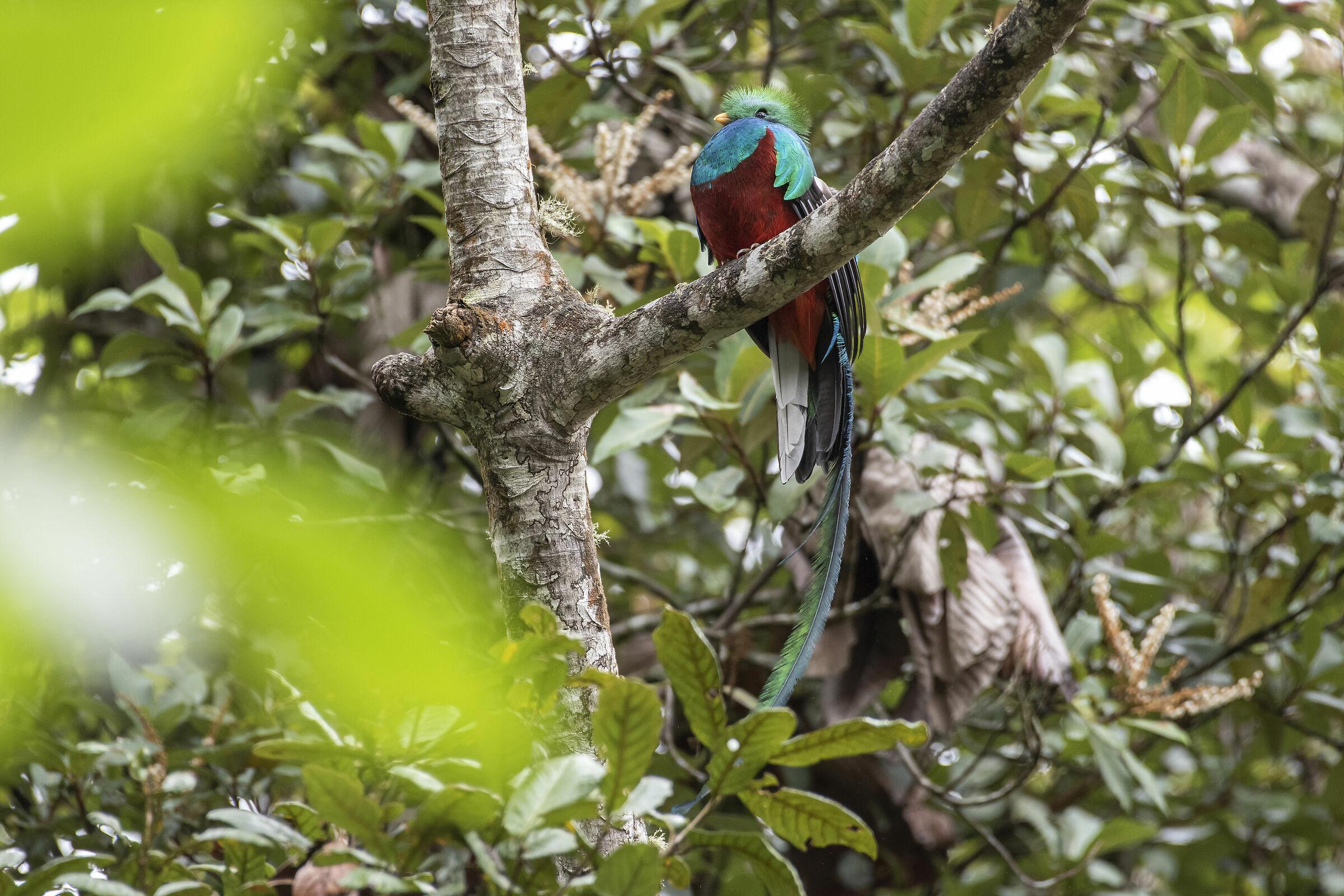 Pharomachrus mocinno (Quetzal Guatemalte)...