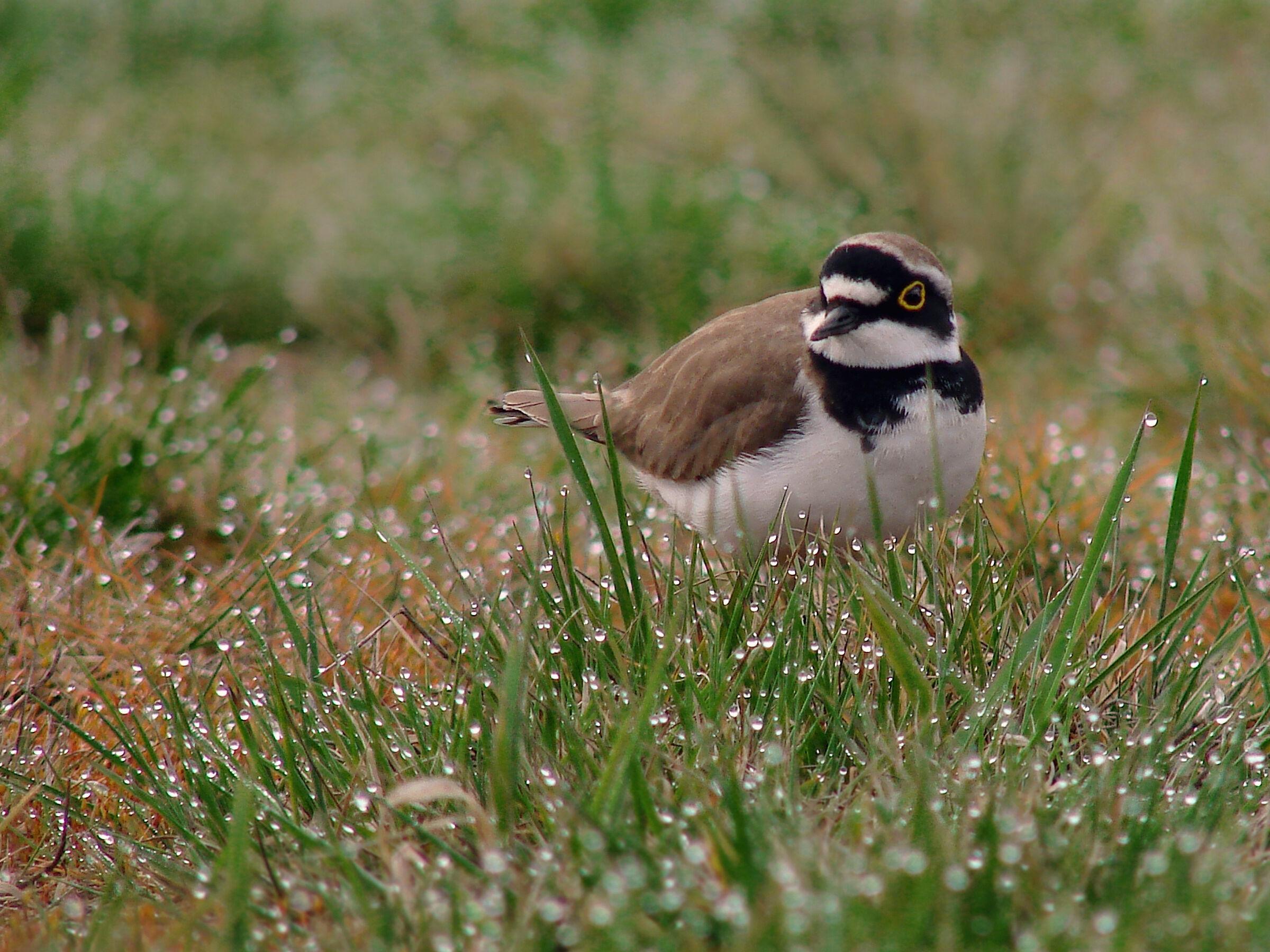 plover bird 2 (Charadrius dubius)...