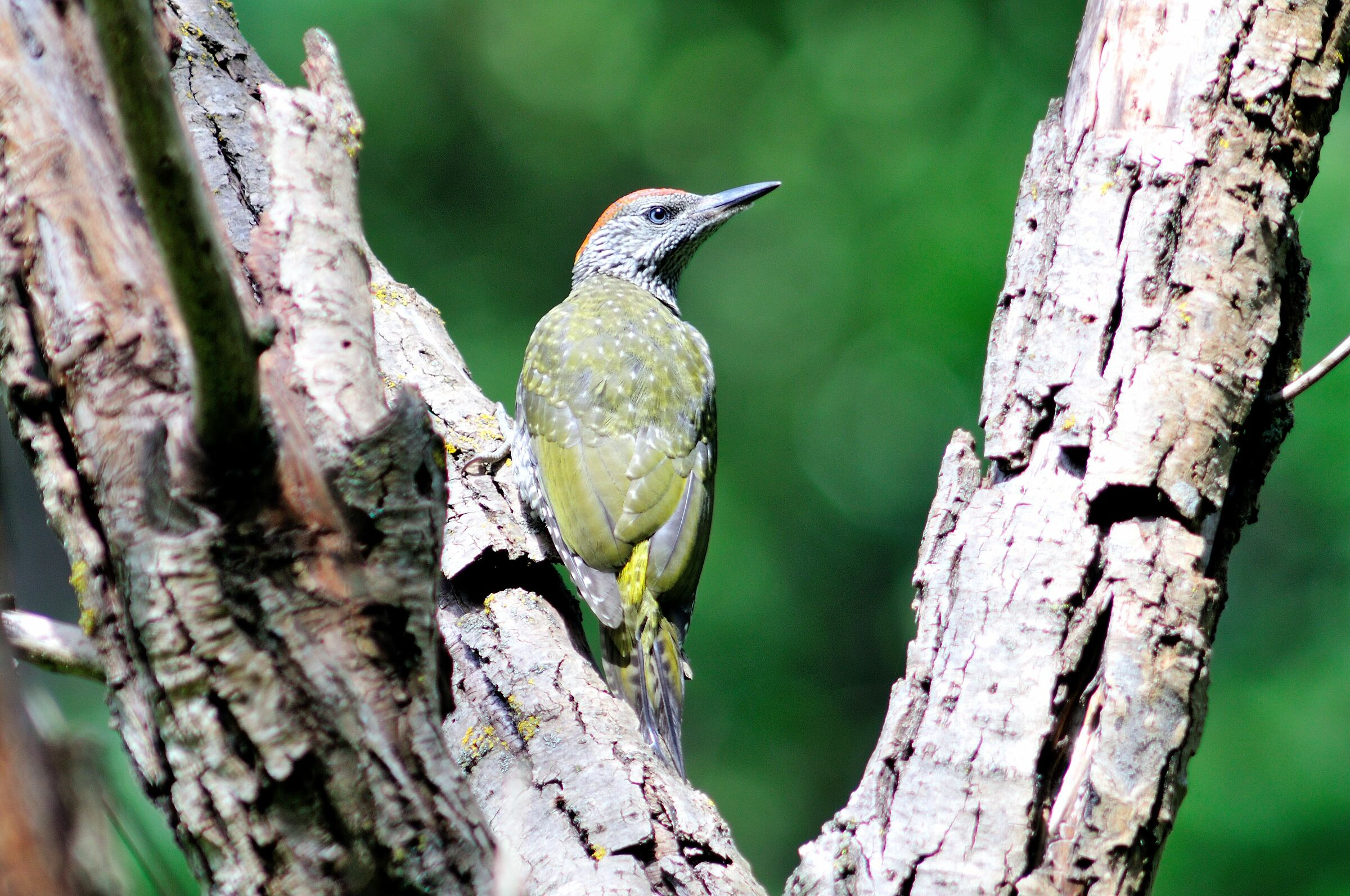 Juv green woodpecker....