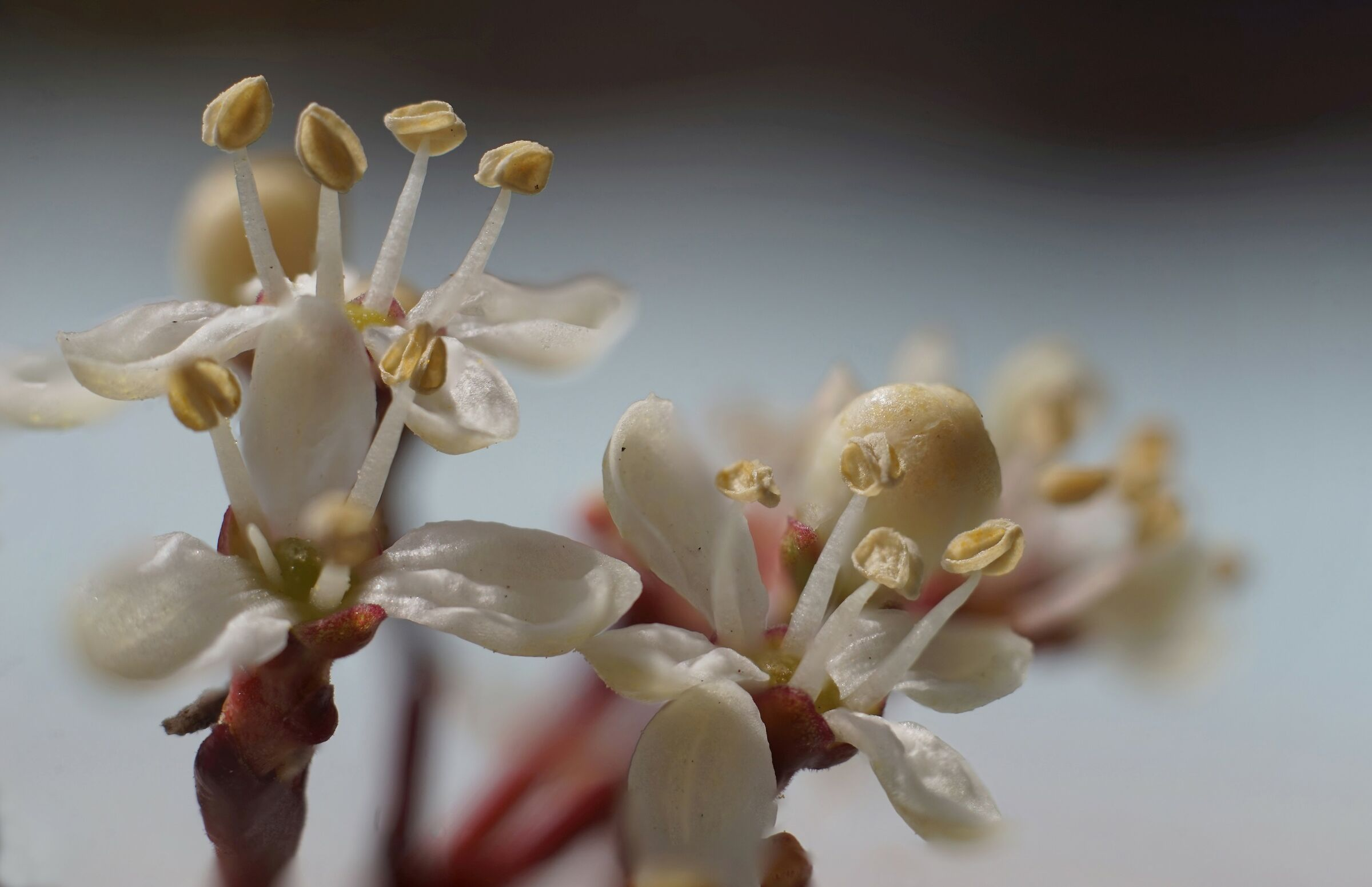 Skimmia japonica Thunb. Dettaglio...