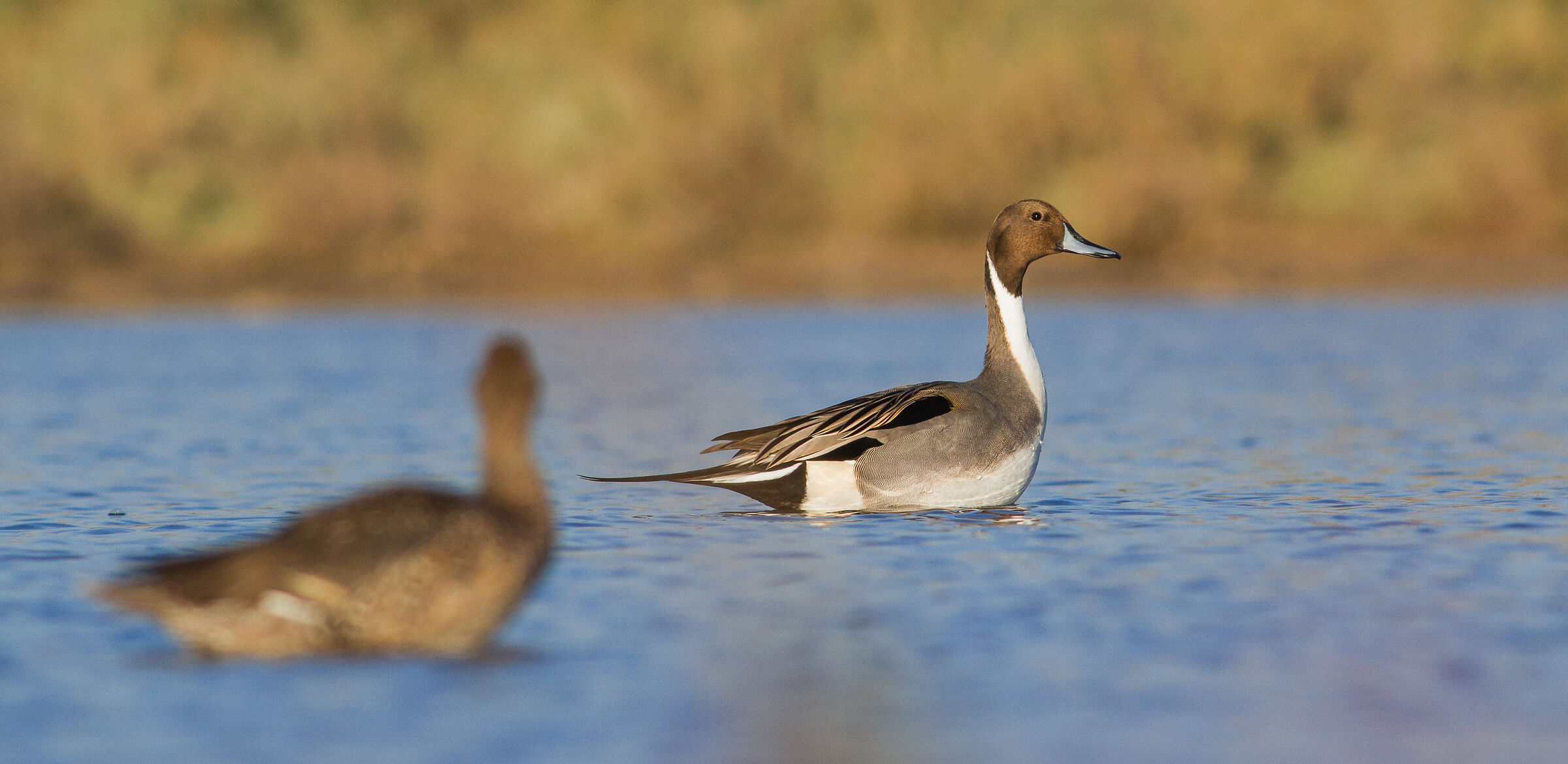 he put his wife out of focus  ( Northern Pintail )...