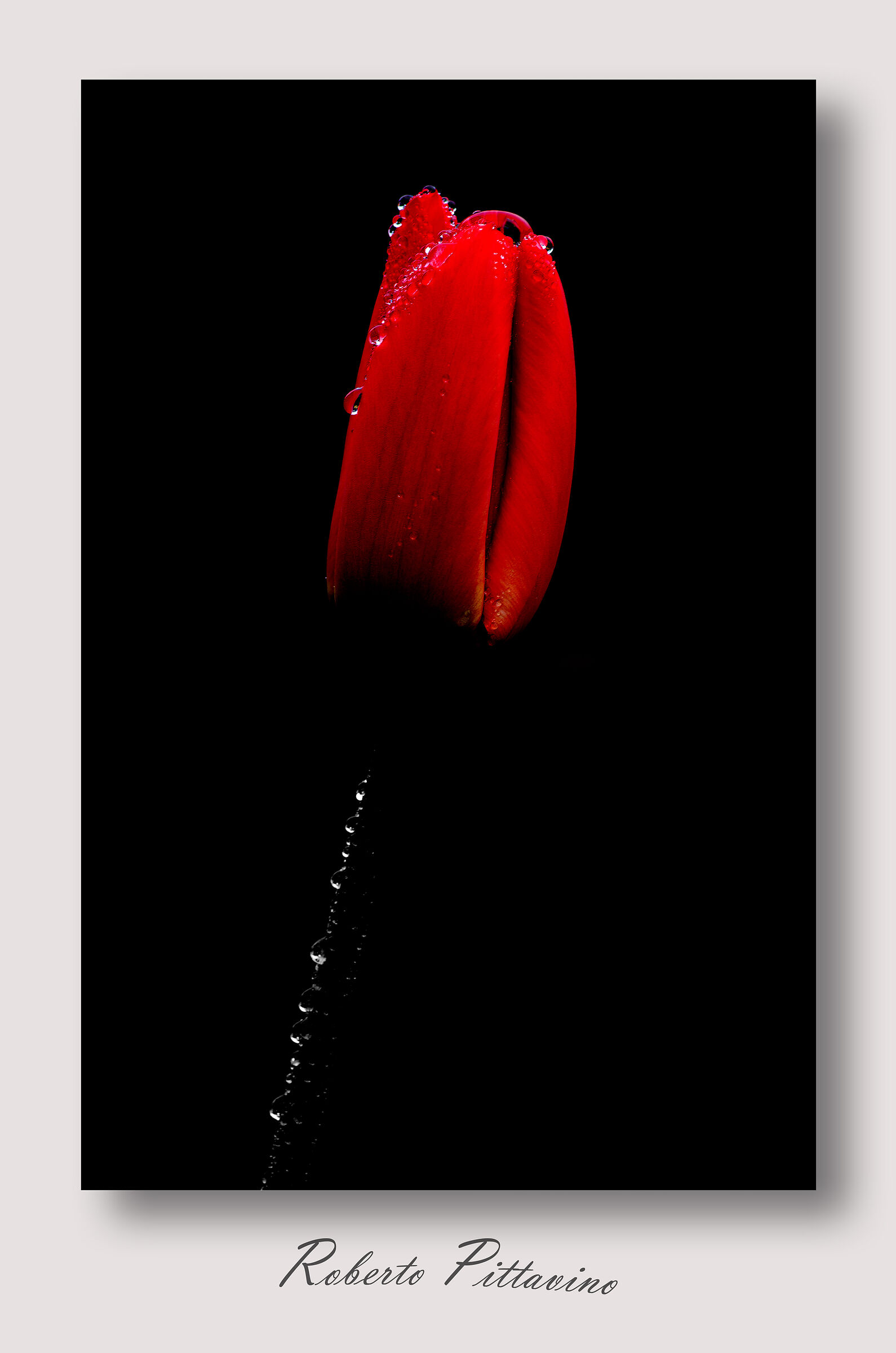 The Red Tulip...