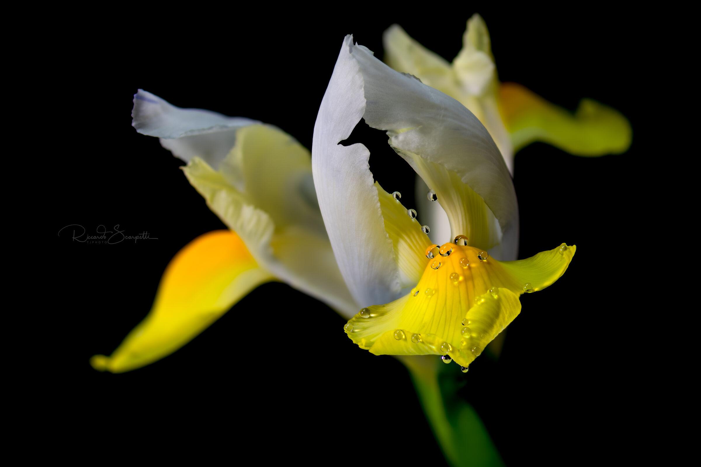 The Iris (also called a garden) ...