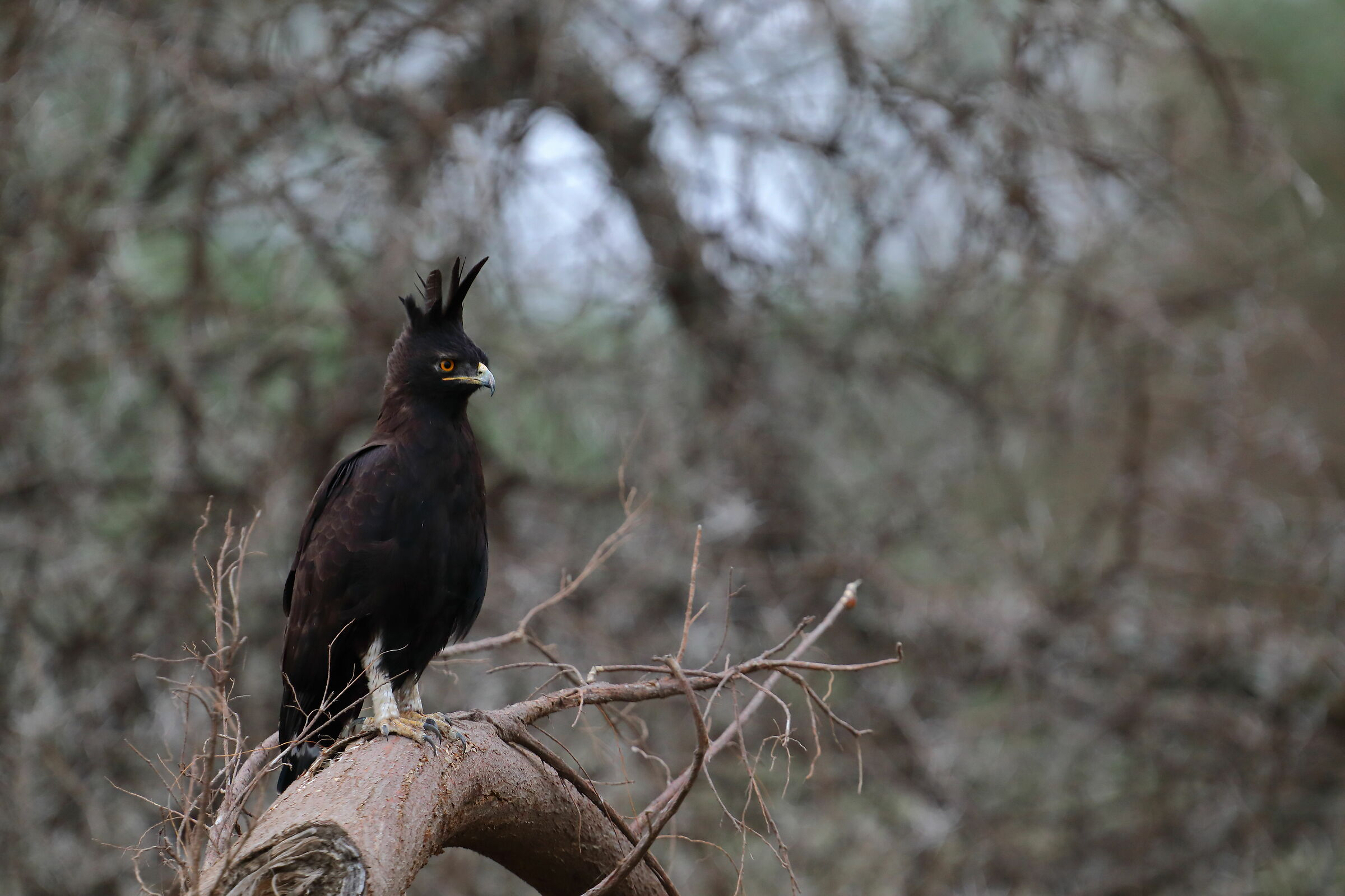 Long-crested eagle...