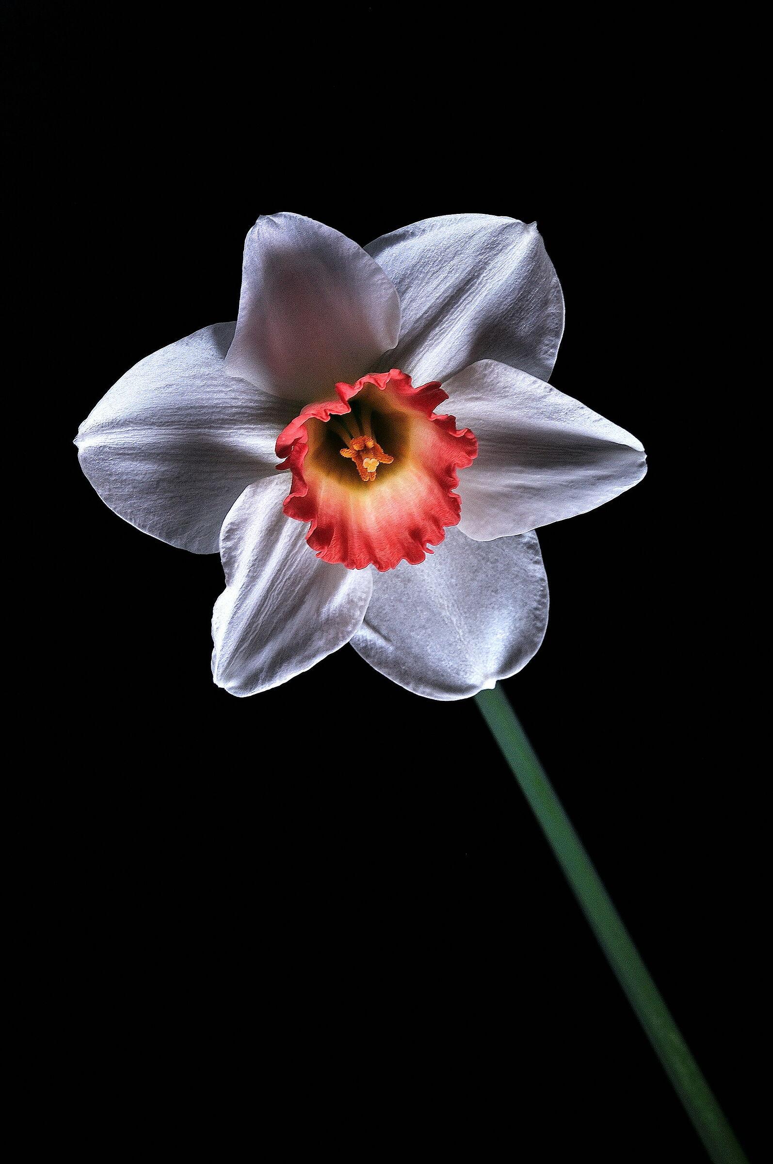 daffodils white...