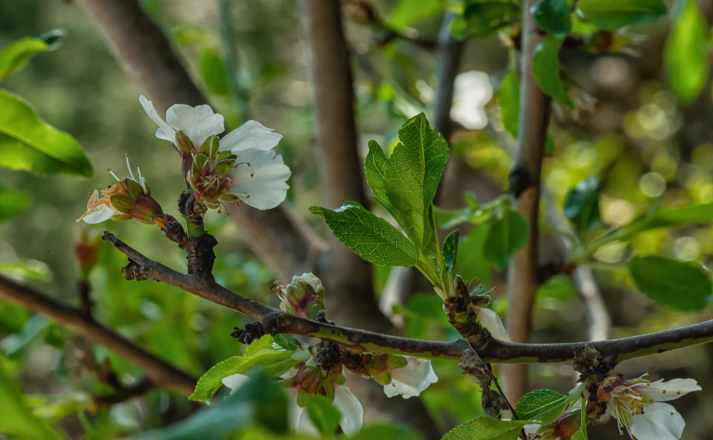Fiore di mandorle...