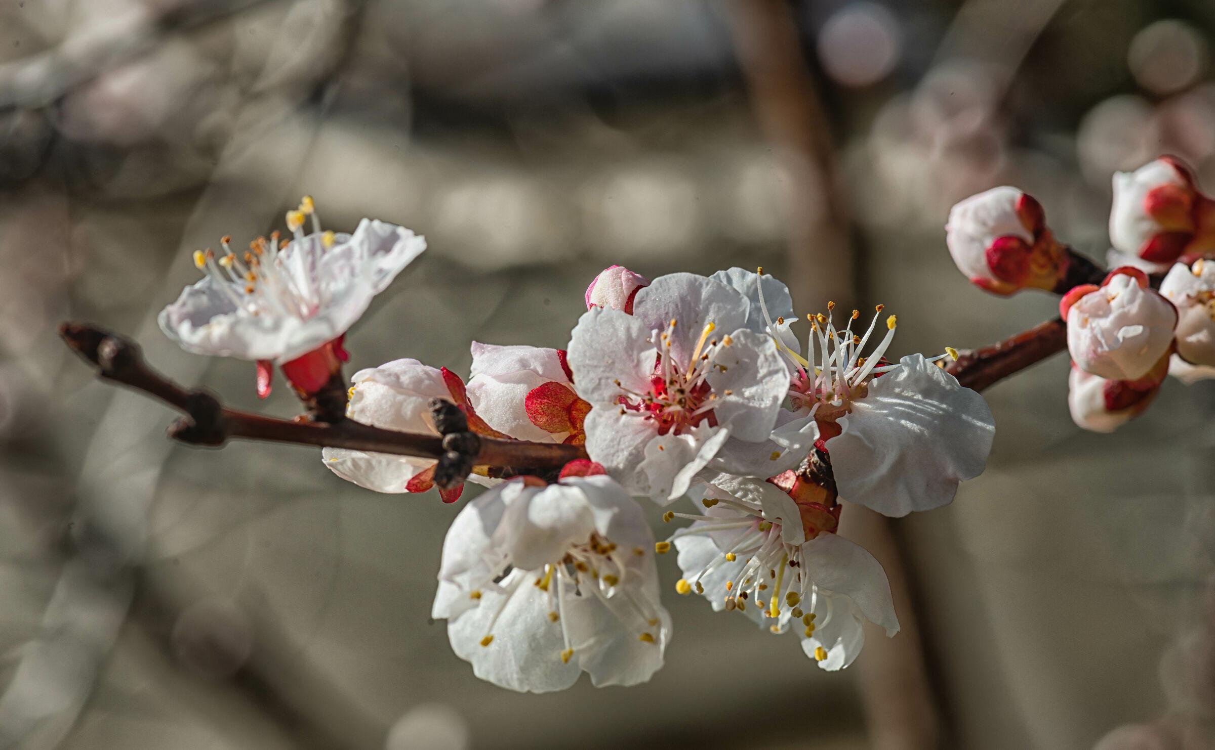 Fiore di albicocca...