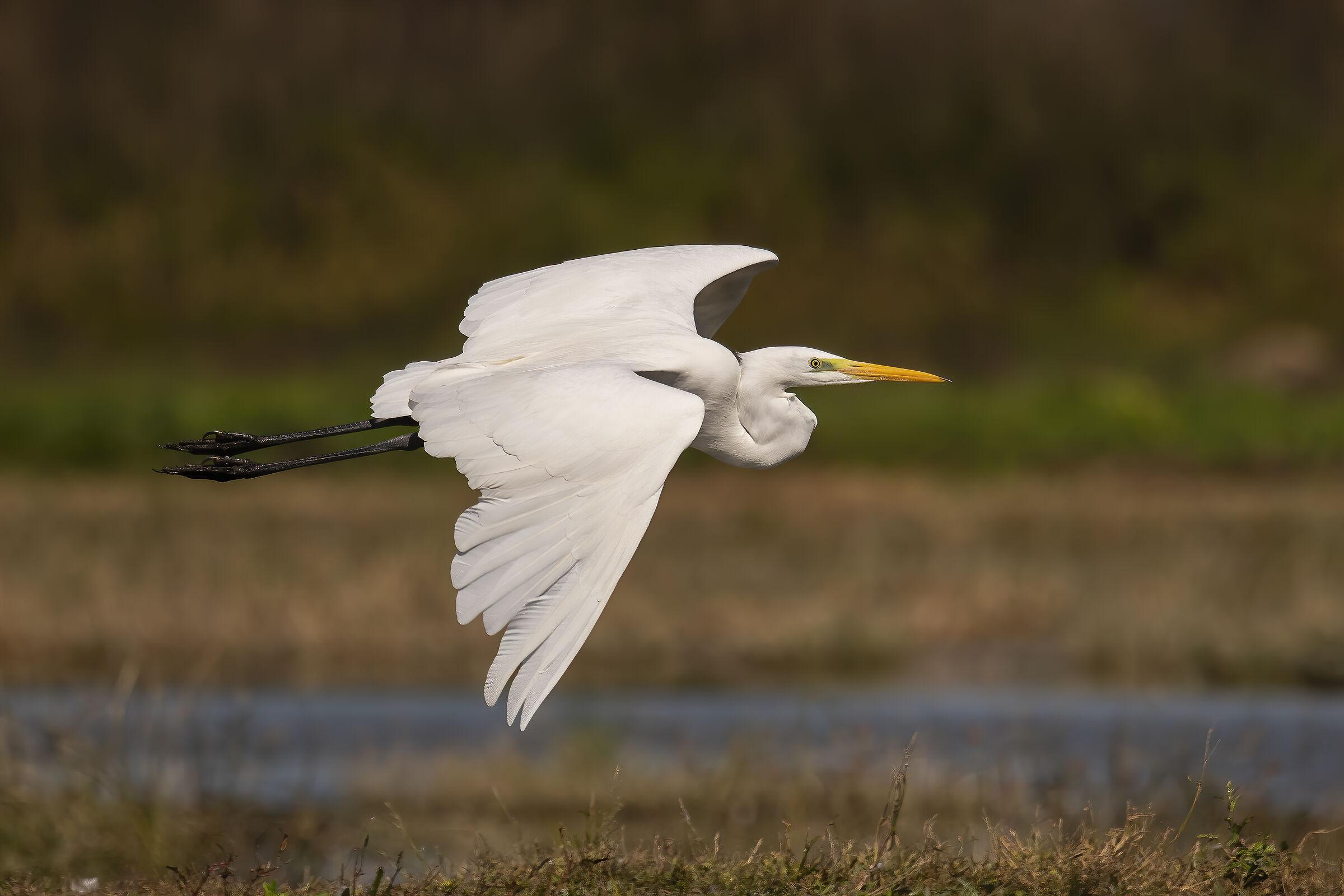 white heron...