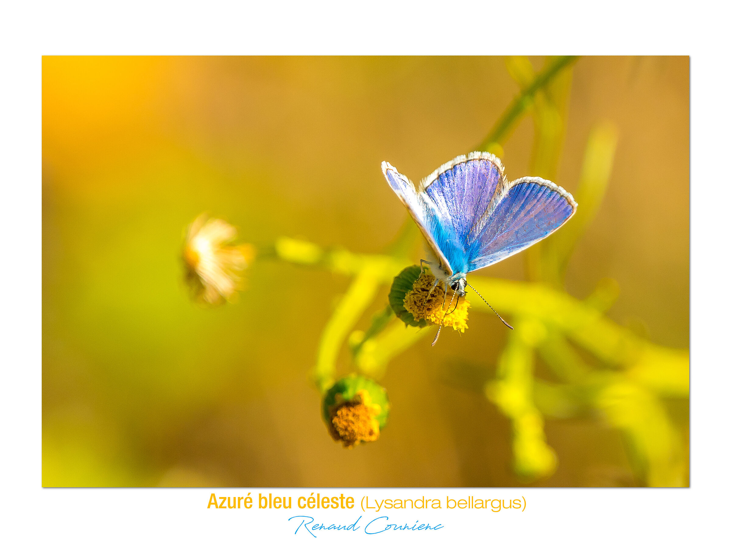 Azuré bleu céleste...