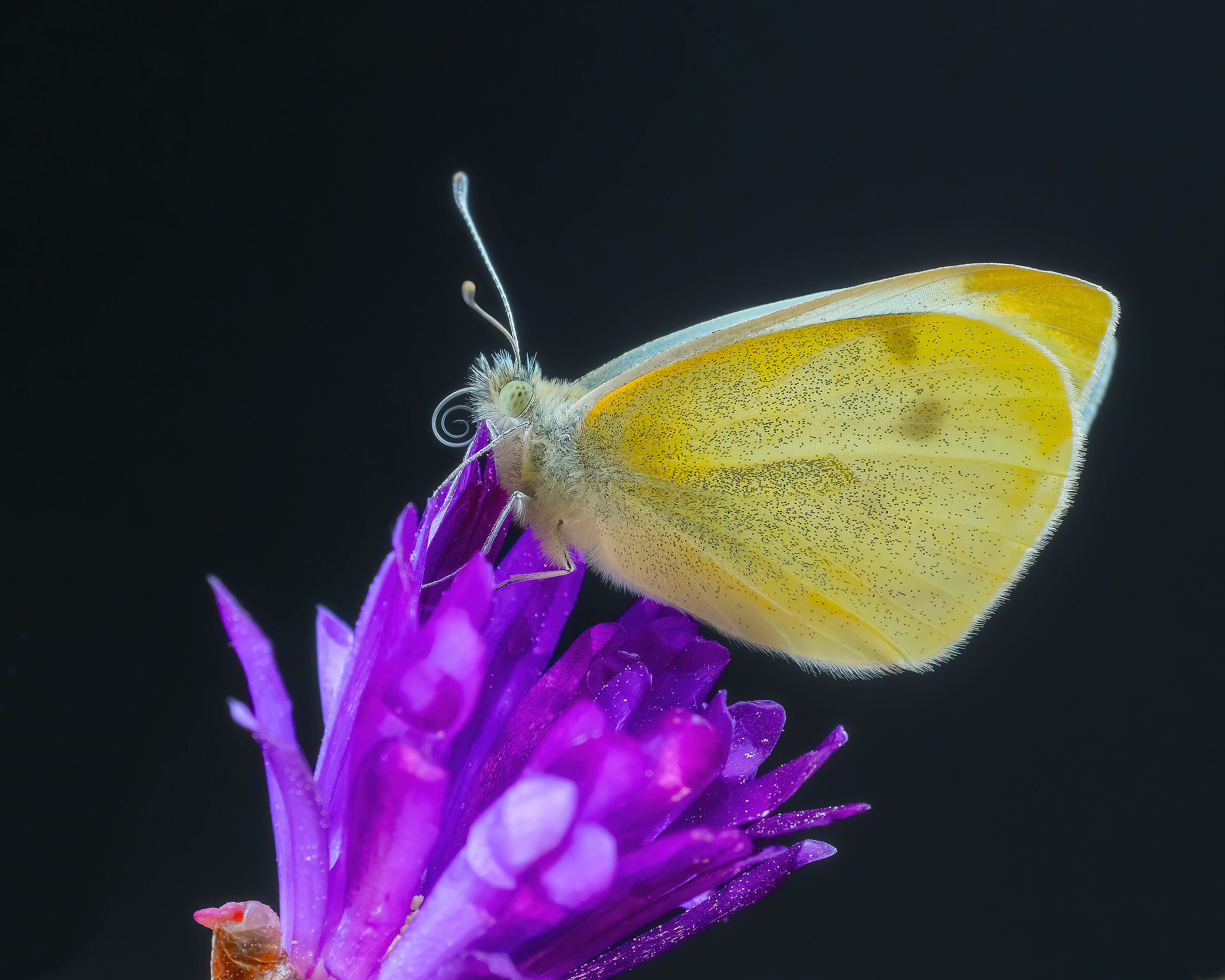 Yellow and celestial butterfly ...