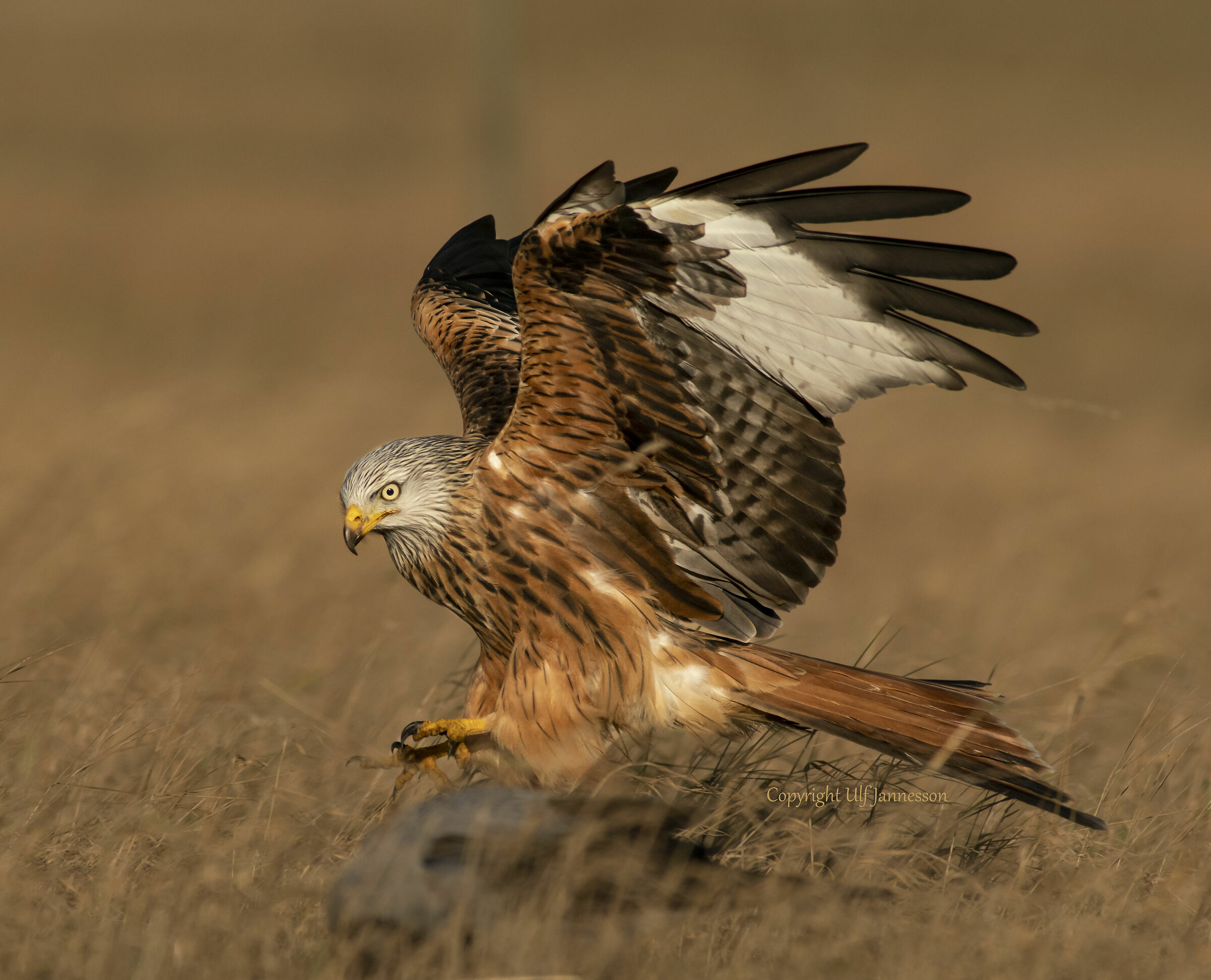Red Kite, Goes in for landing...