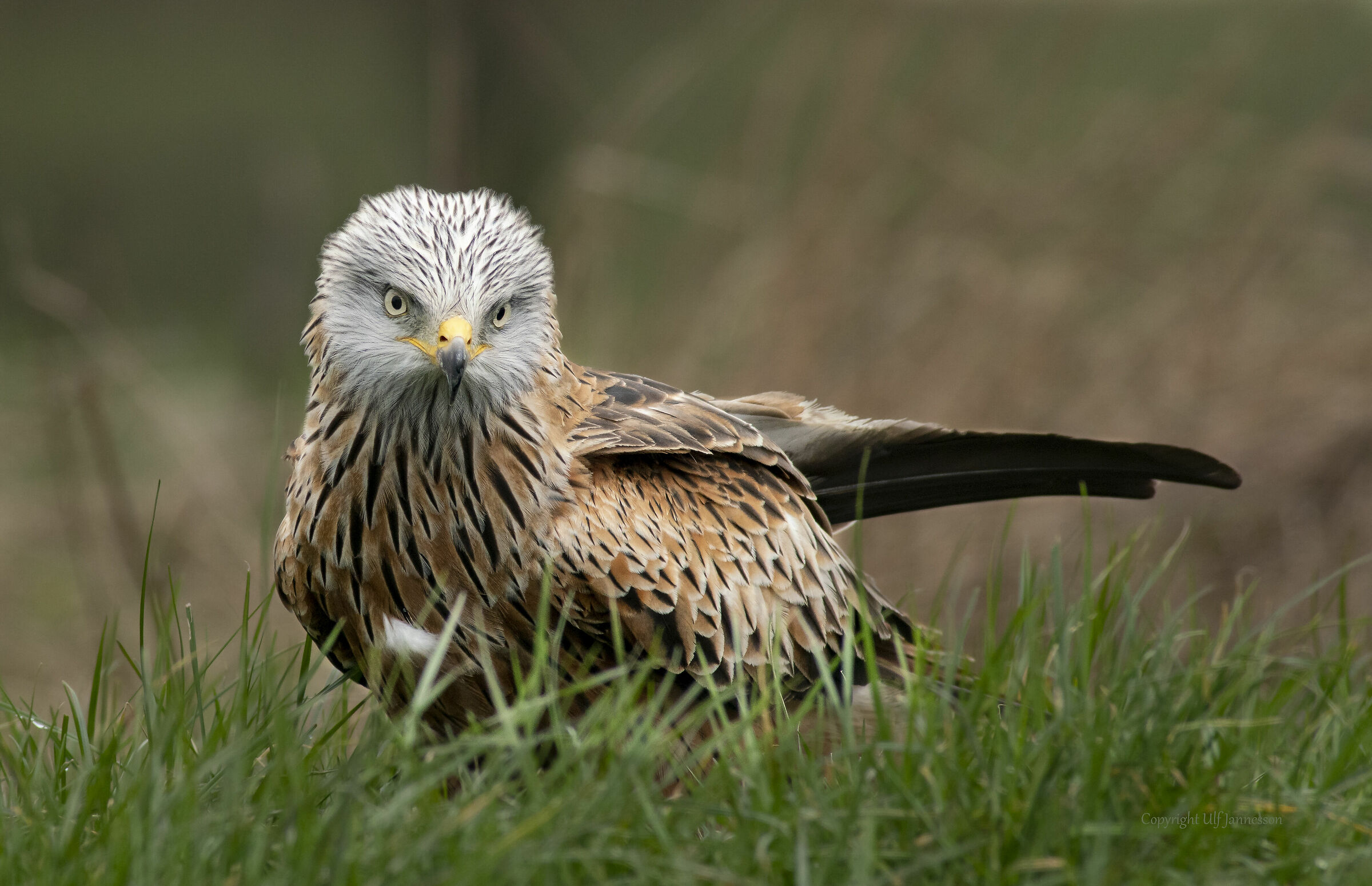 Red Kite, What are you looking at...