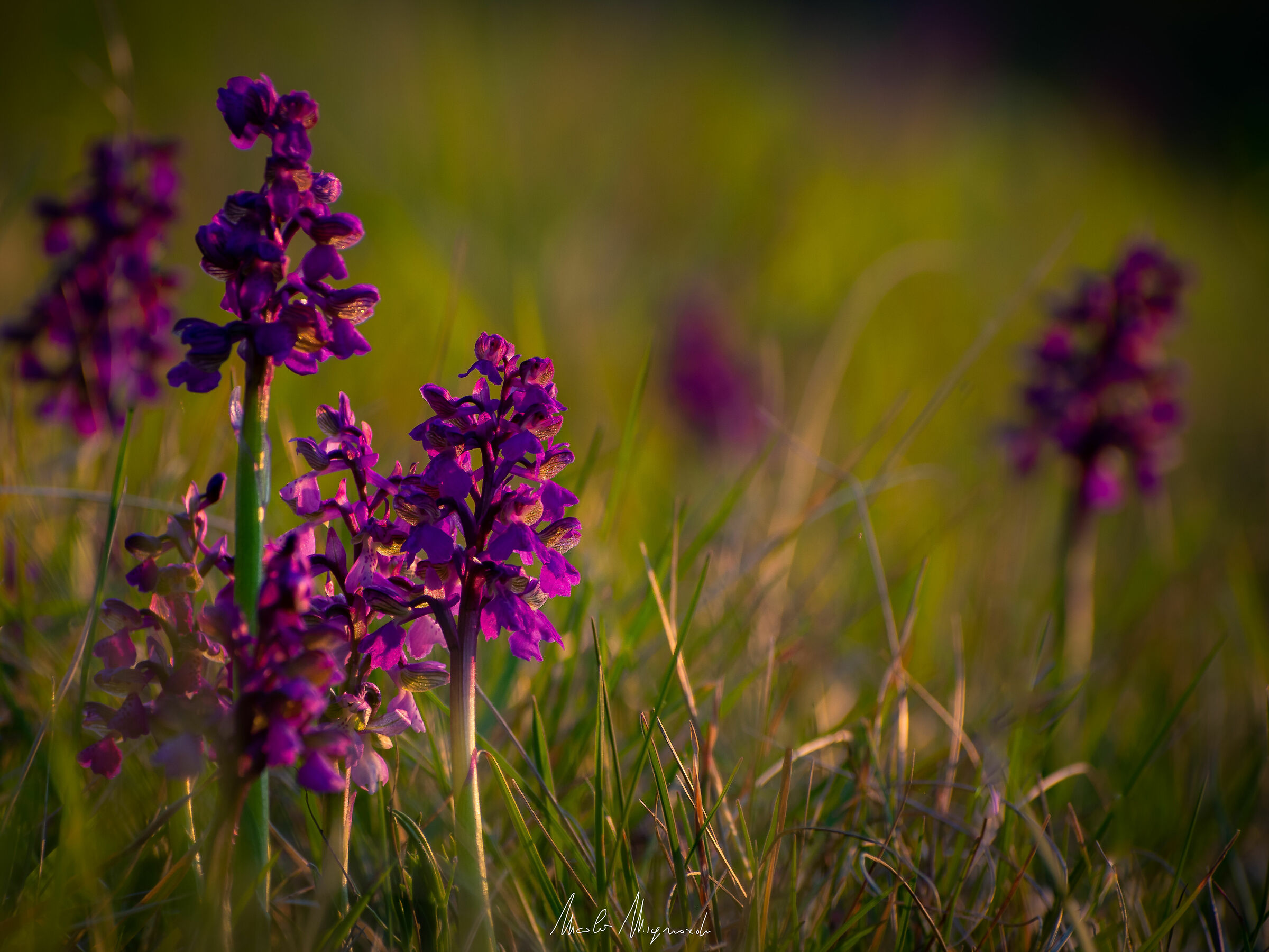 Orchis mascula...