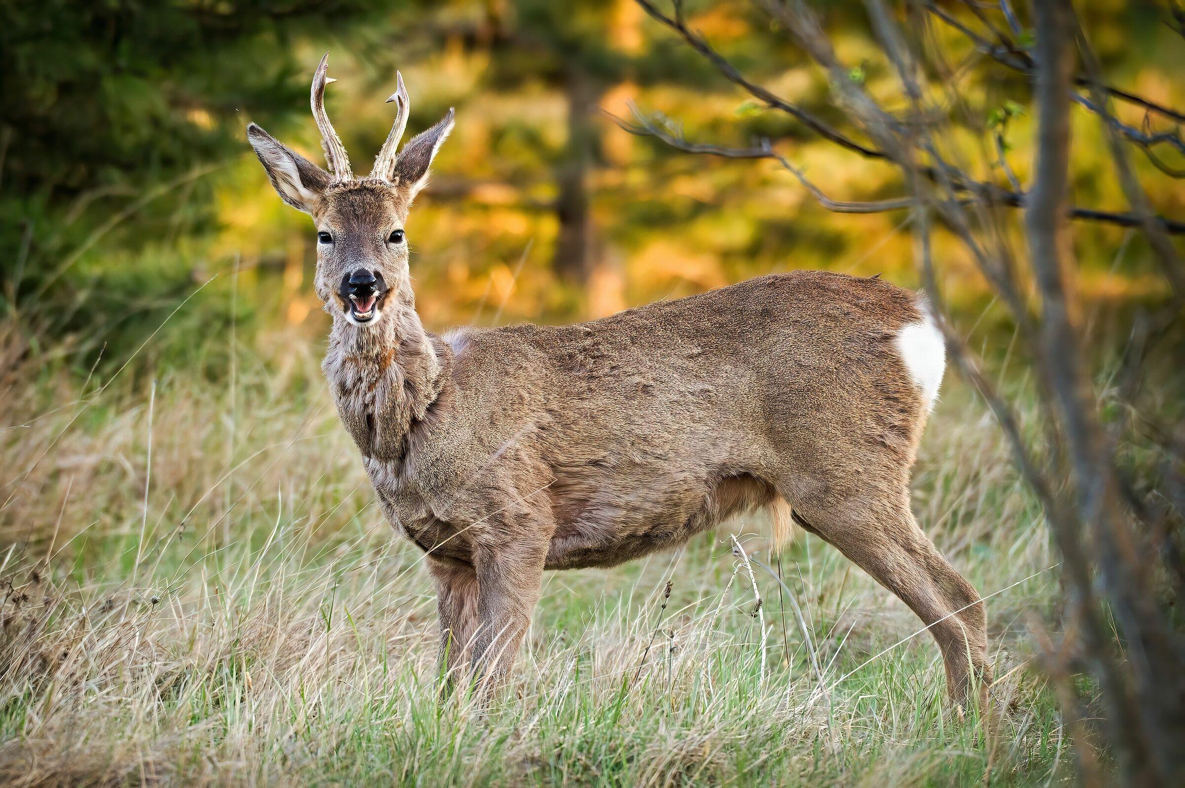 Roe deer at sunset...