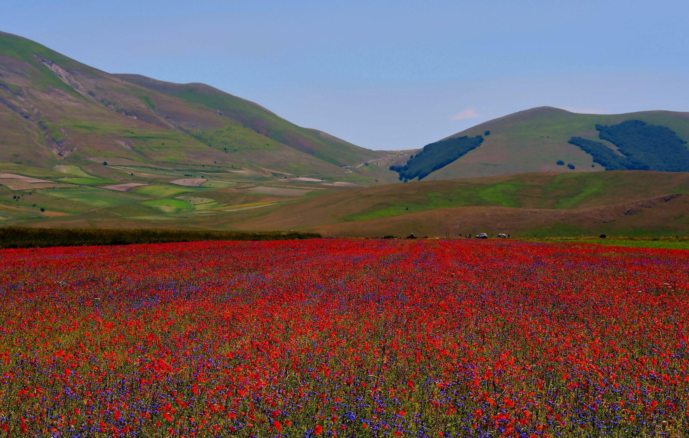 Flowering in Castelluccio di Norcia...