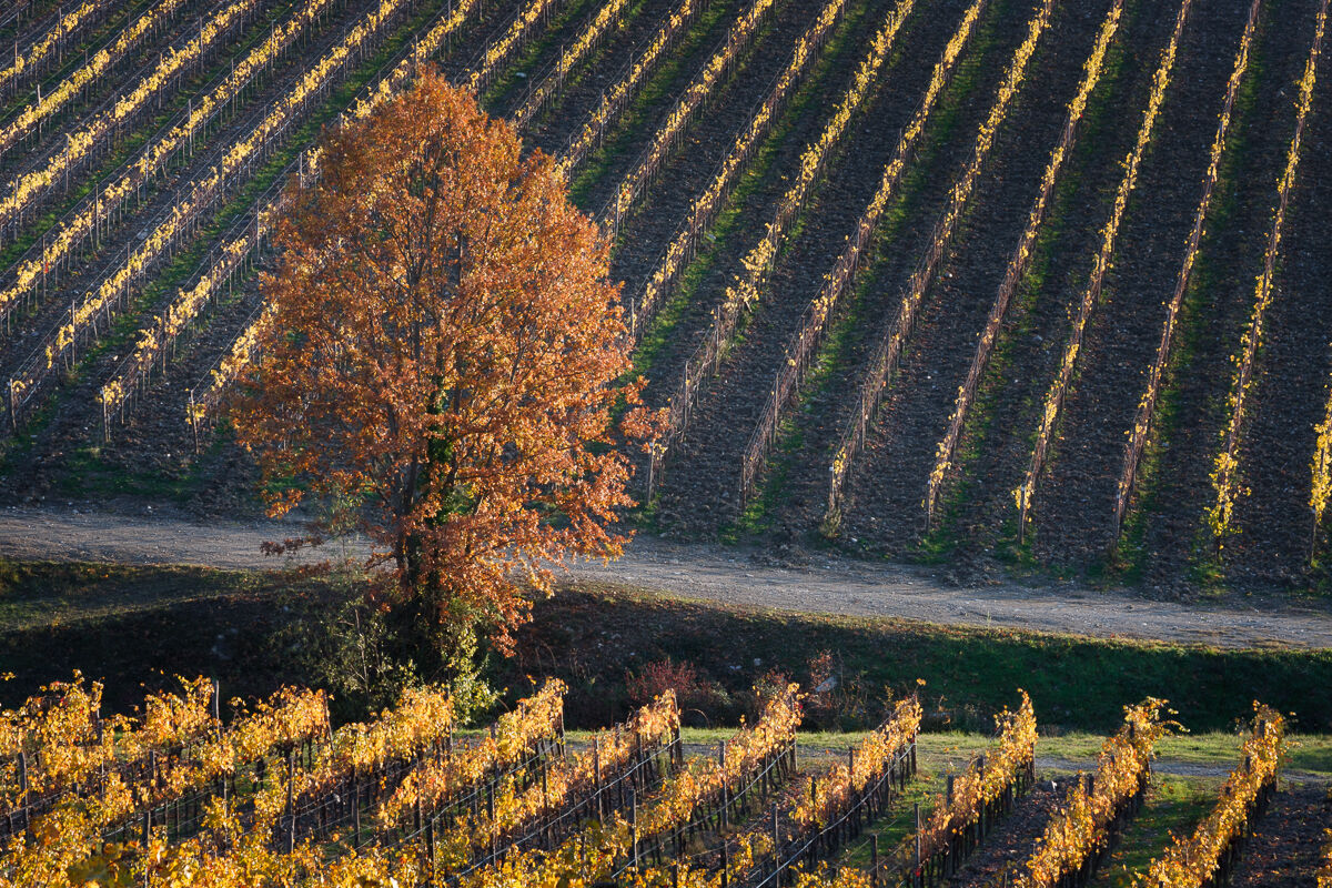 In the gold of Chianti ......